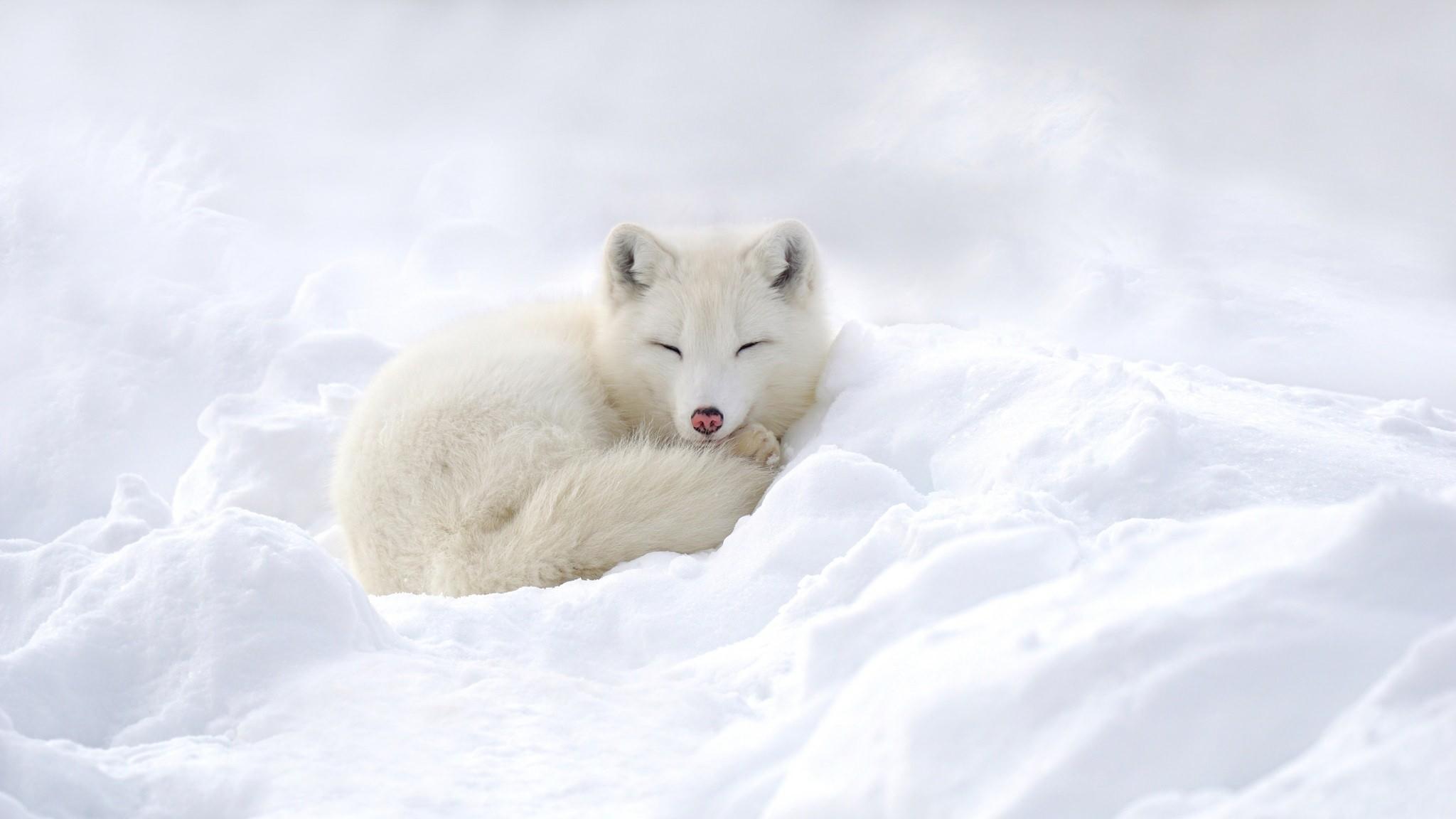 Arctic fox wallpaper 73 images - Fox desktop background ...