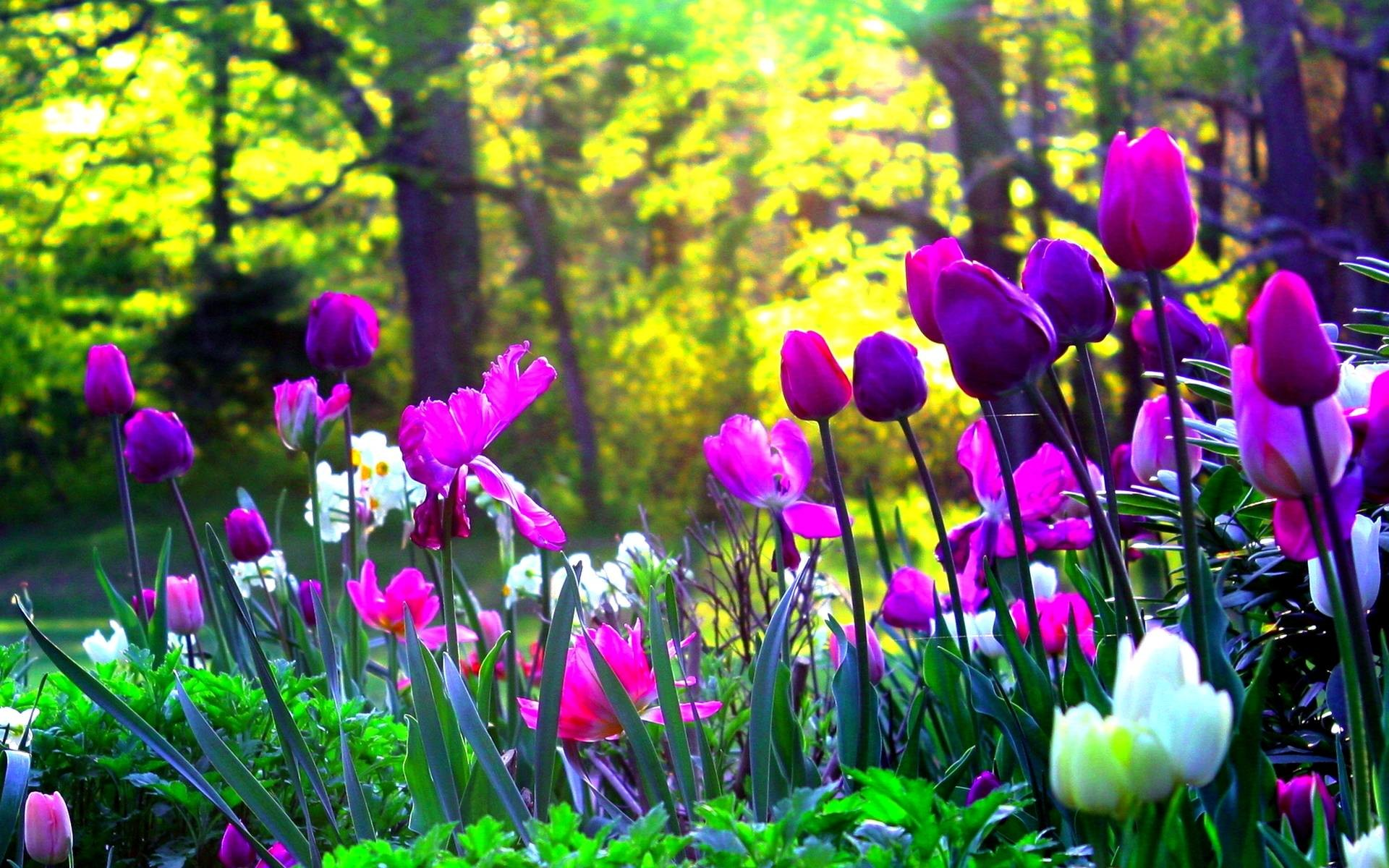Tulips Background Wallpaper 70 Images