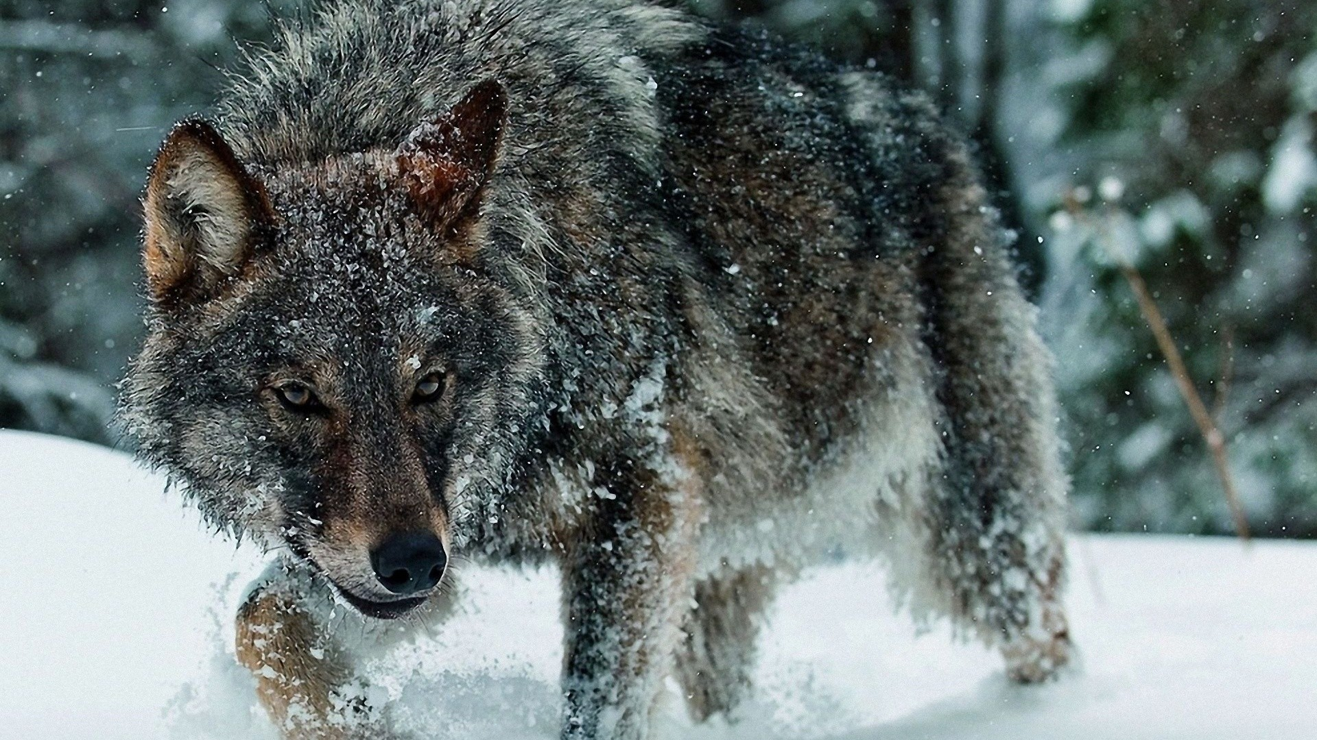 1920x1080 Pinterest · Download. « Winter Wolf HD Wallpaper