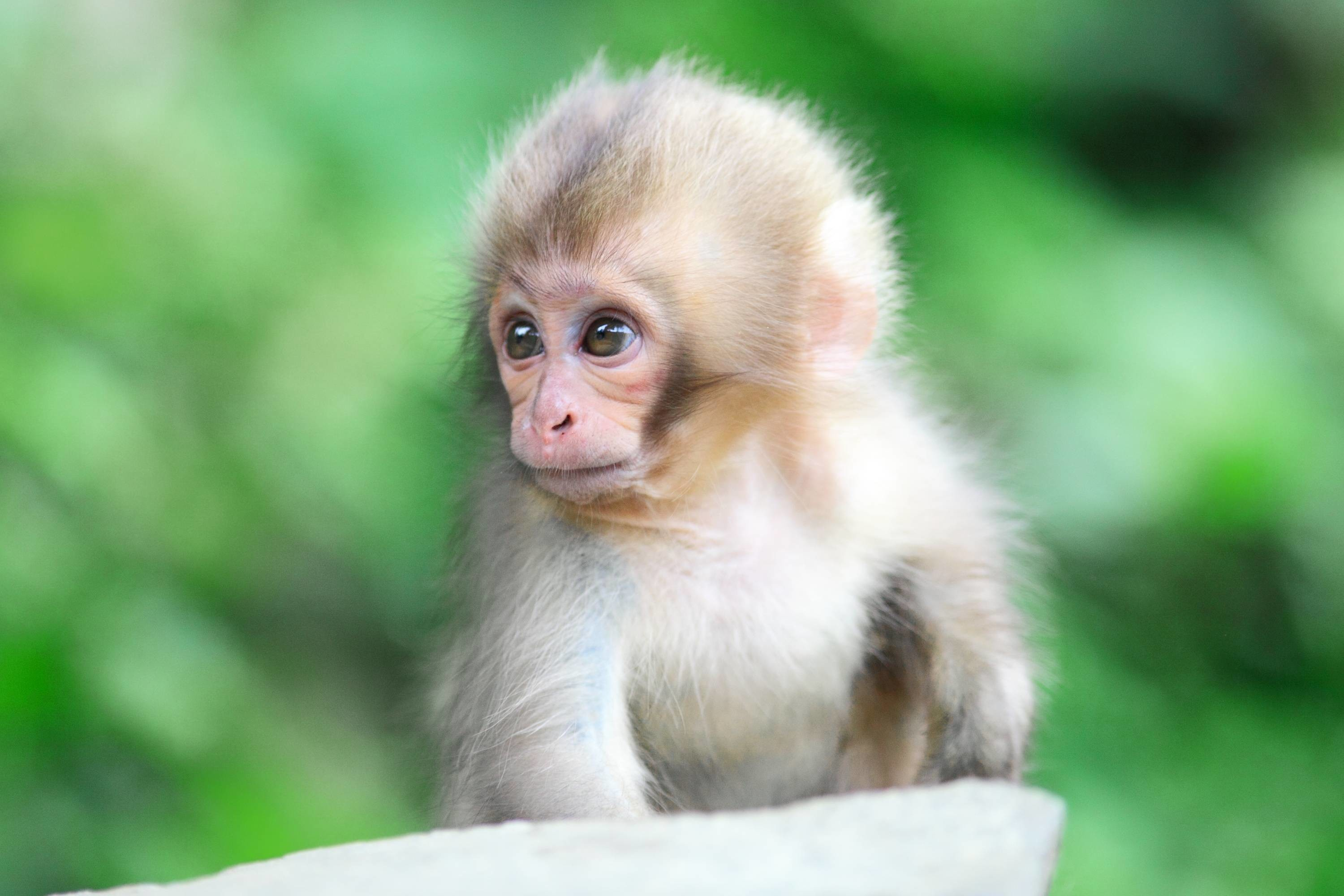 3000x2000 Wallpapers For > Cute Monkey Wallpapers