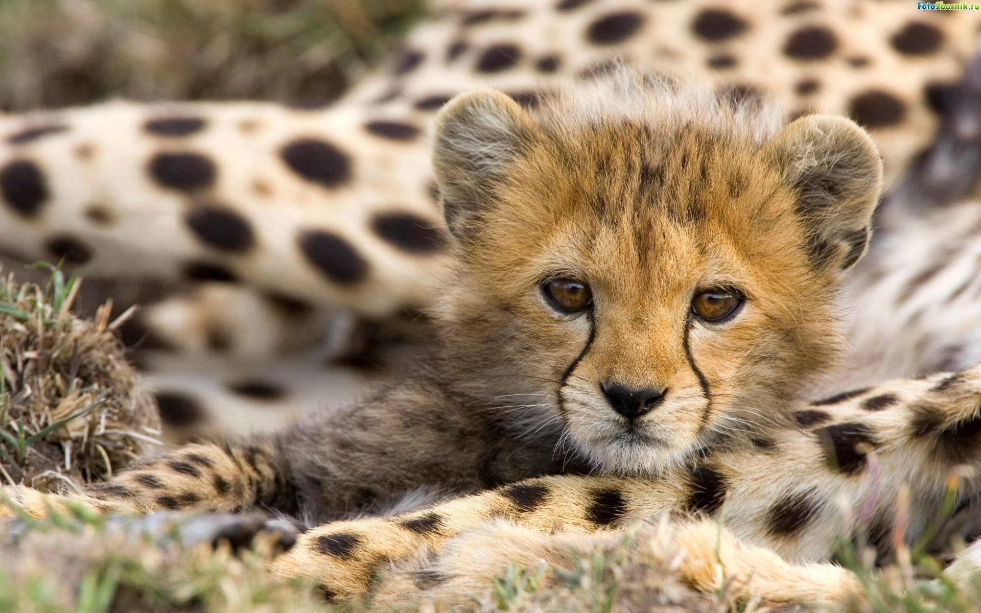 1920x1200 Images Big cats Cubs Animals