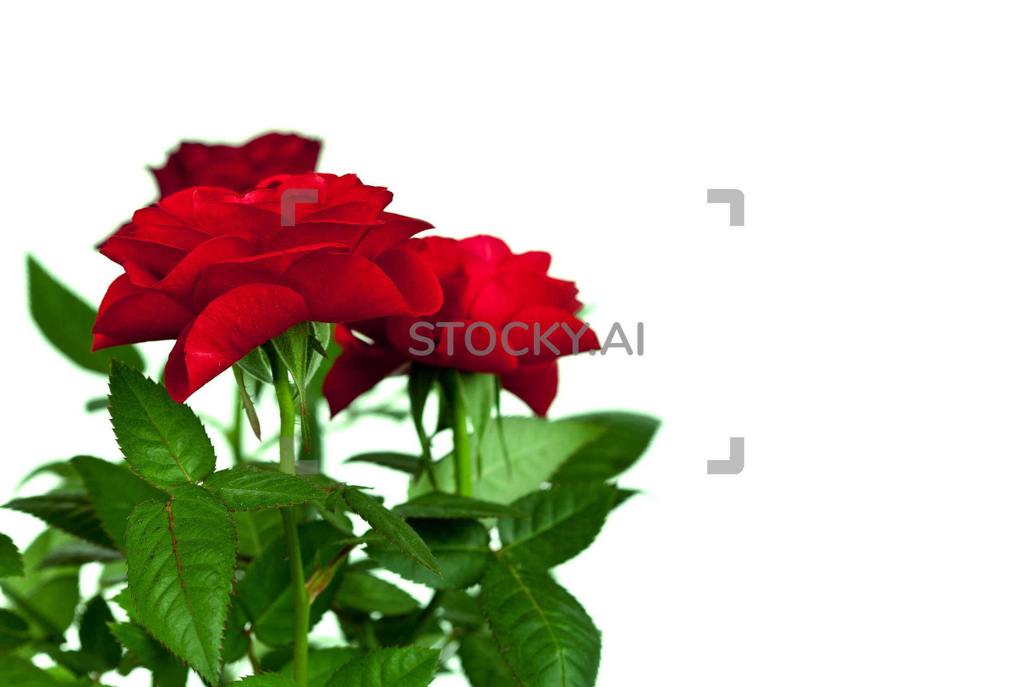 2121x1414 Image of Red roses
