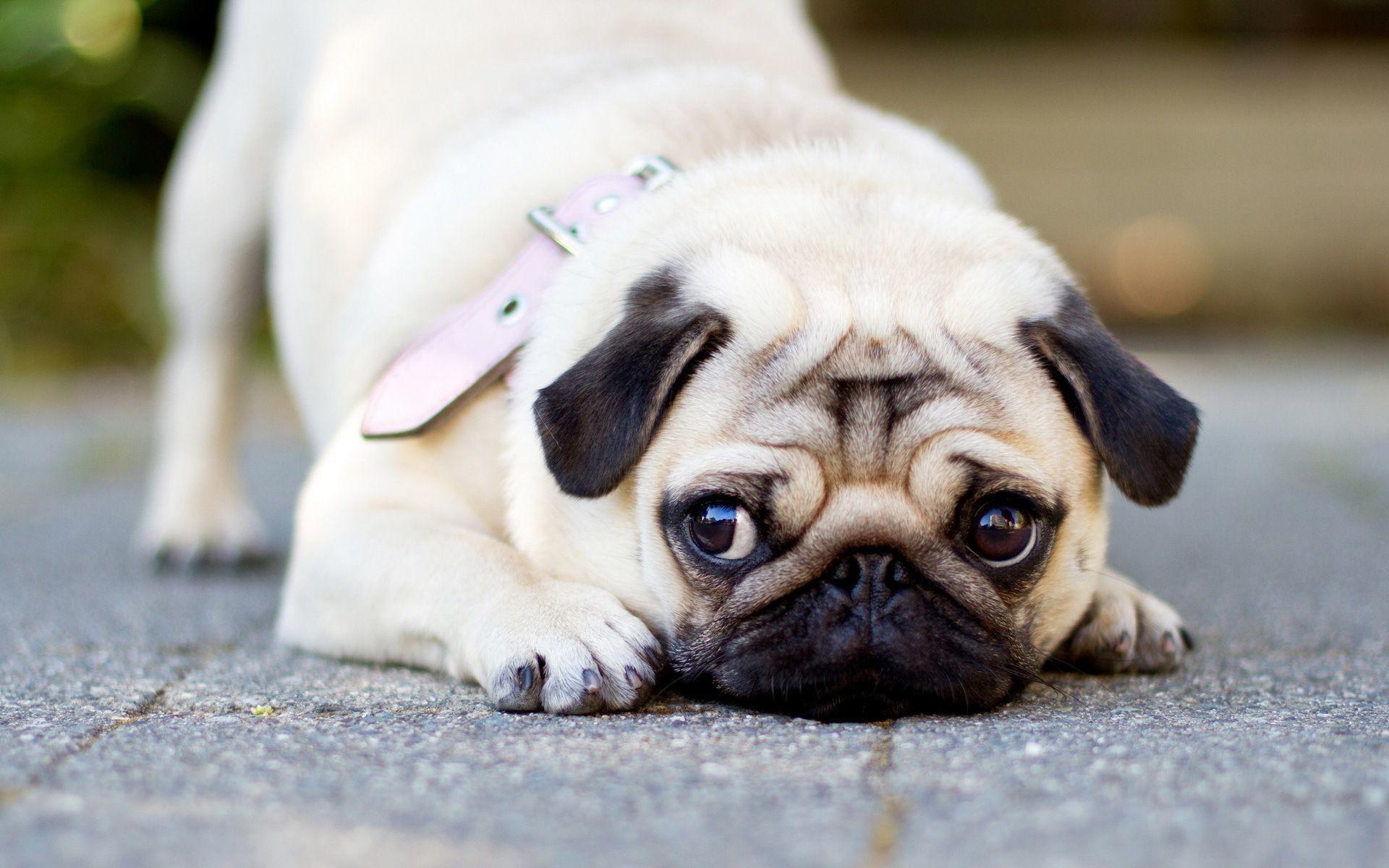 1920x1200 Cute Pug HD Wallpaper 1920x1080 Cute Pug HD Wallpaper