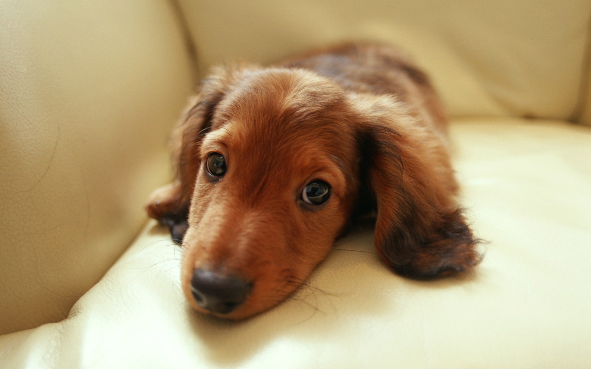 1920x1200 Miniature Dachshund Puppies Wallpapers - Puppy Dachshund 1920*1200 NO.32  Wallpaper