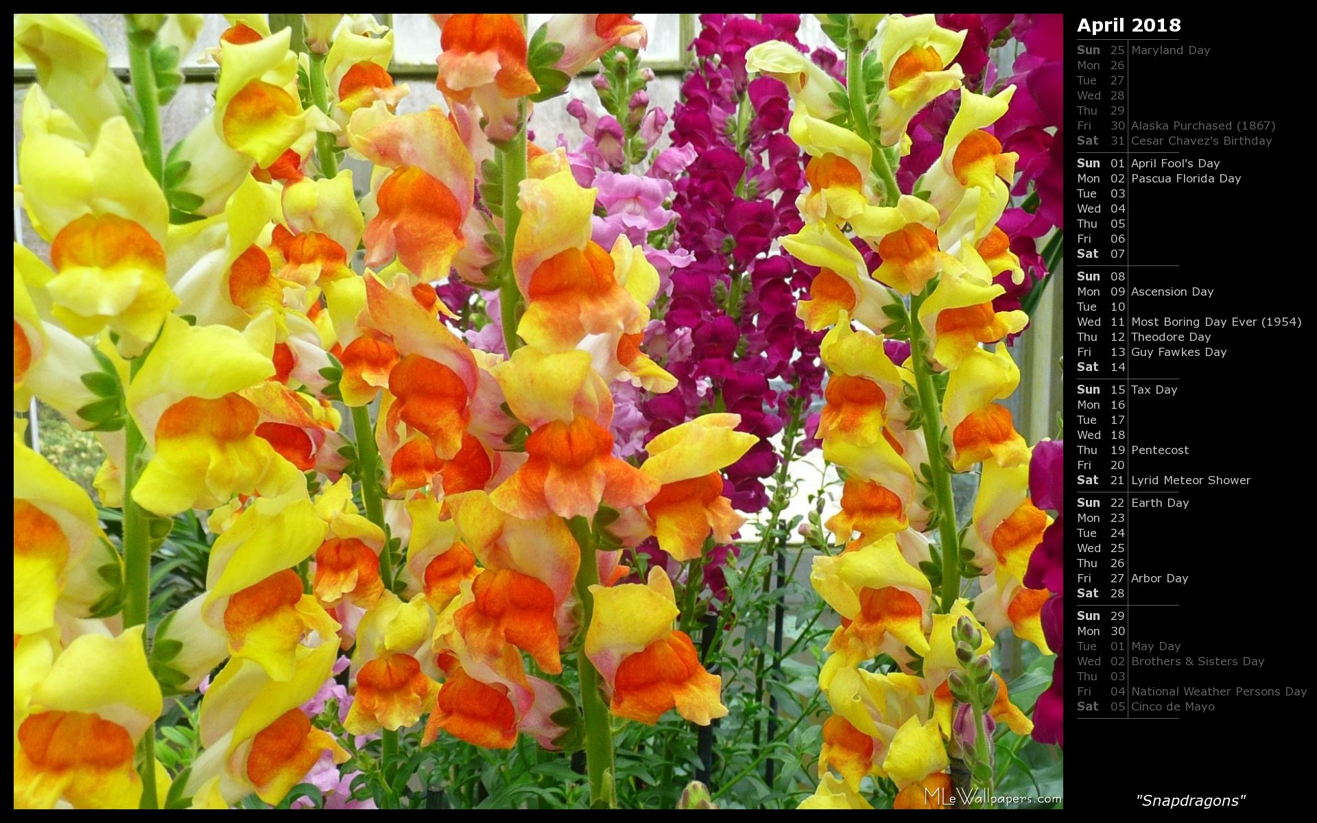1920x1200 I was surprised by the bright and varied colors of snapdragons they had at  the conservatories at Brookside Gardens. Here's a wallpaper with pink, ...