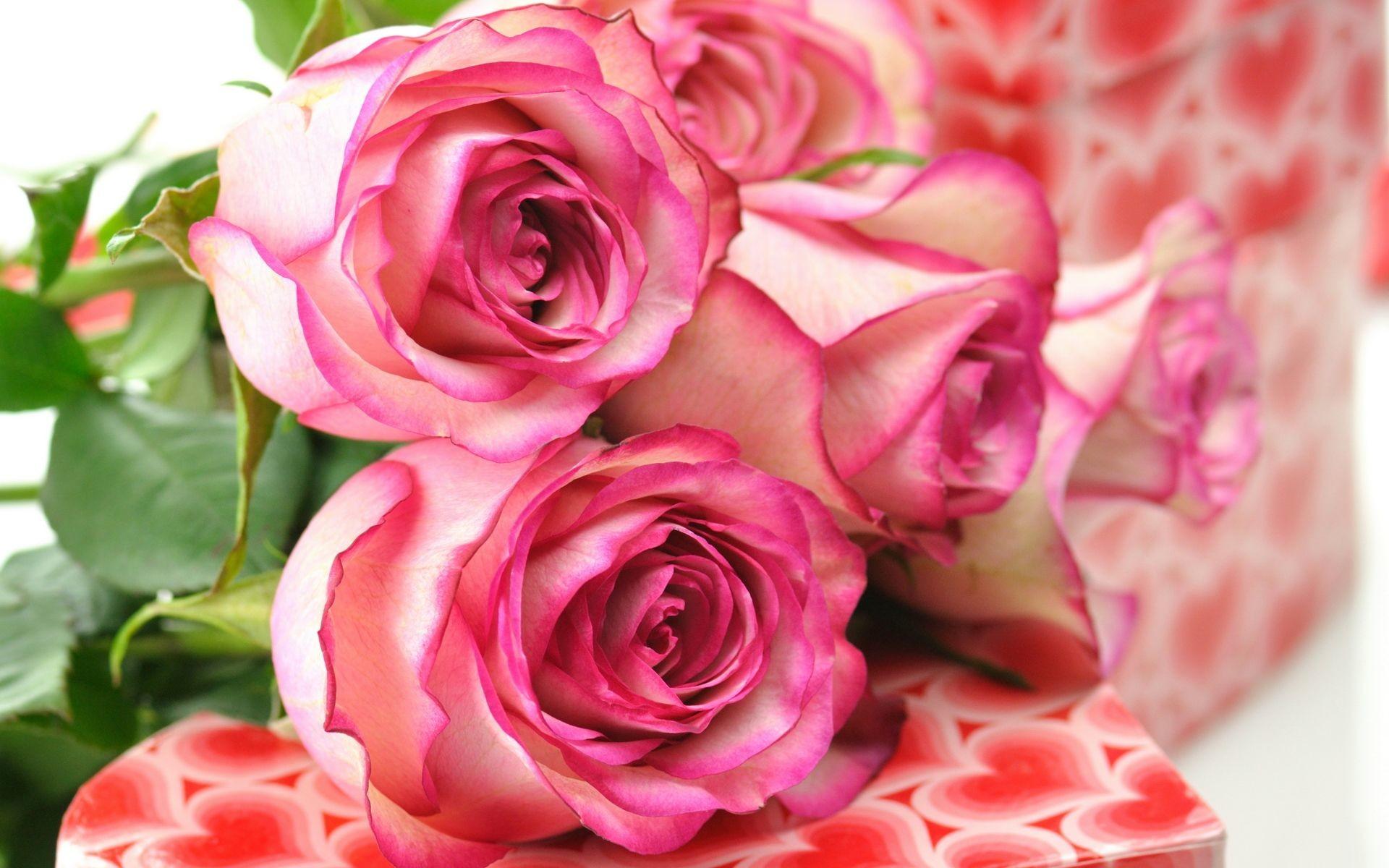 1920x1200 Beautiful Pink Roses Wallpaper Download 2880x1800