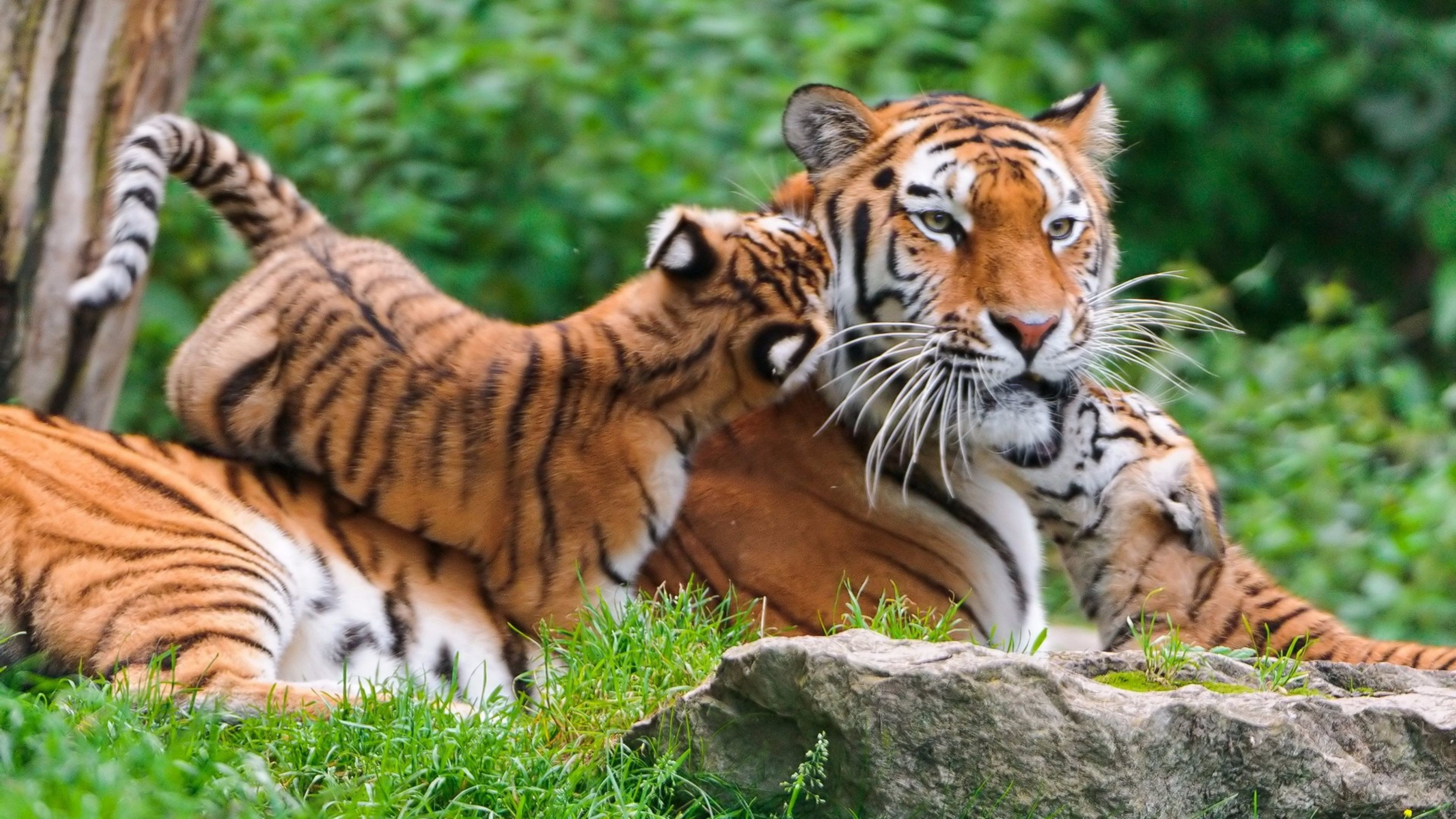 3840x2160 tiger cubby Cats Animals Background Wallpapers on Desktop