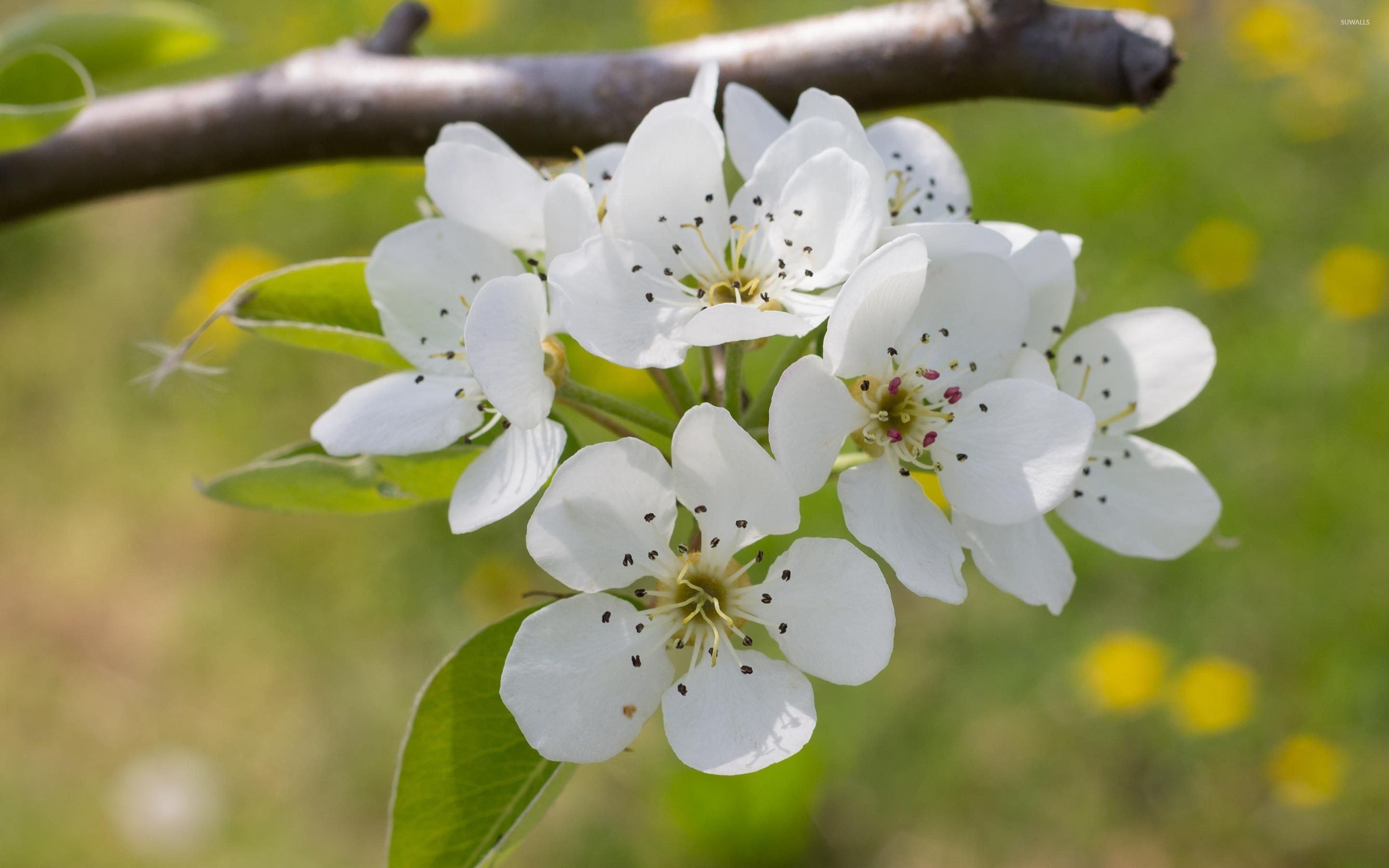 2880x1800 Pear blossoms on the branch wallpaper