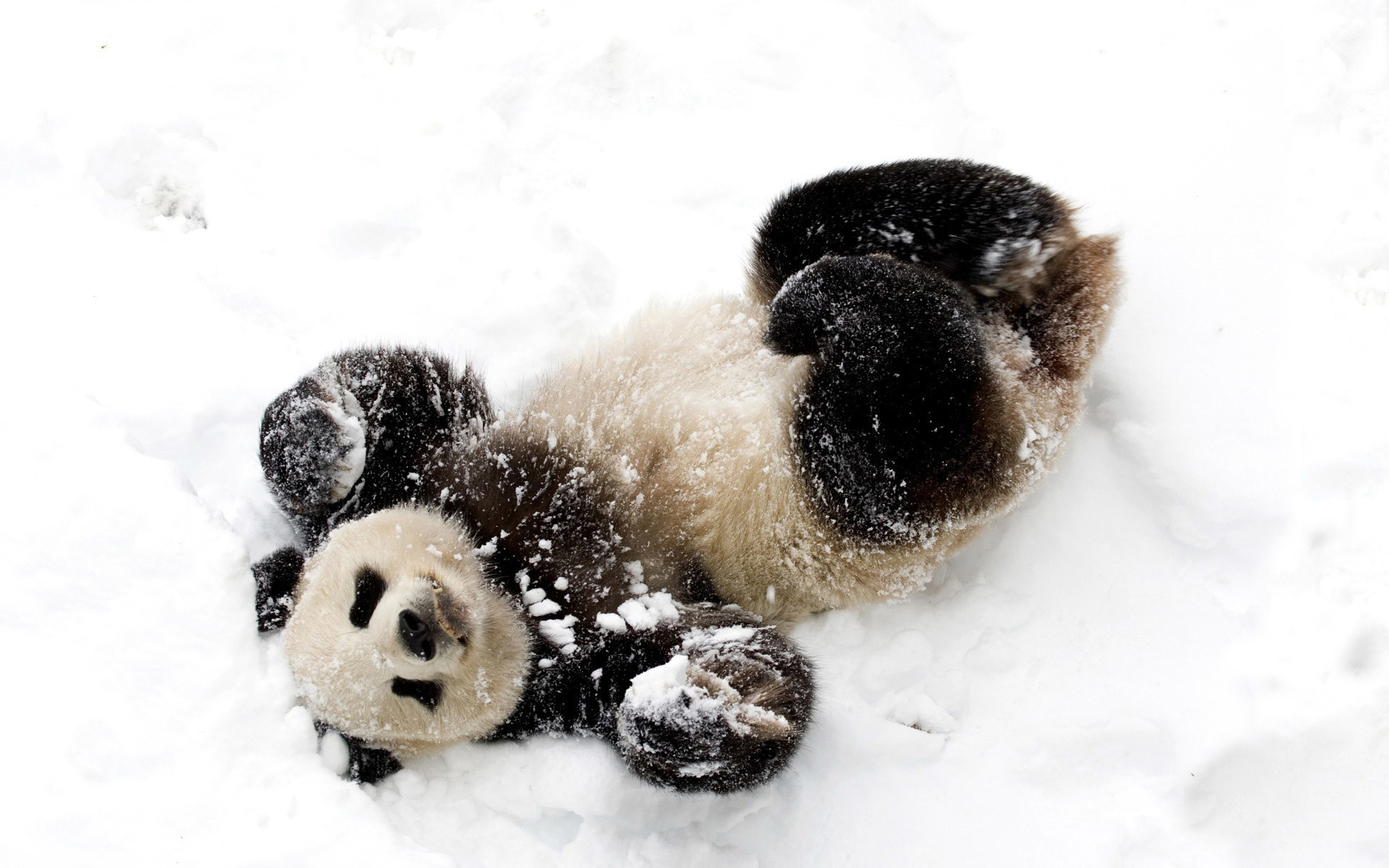 1920x1200 Panda Cubs in Snow