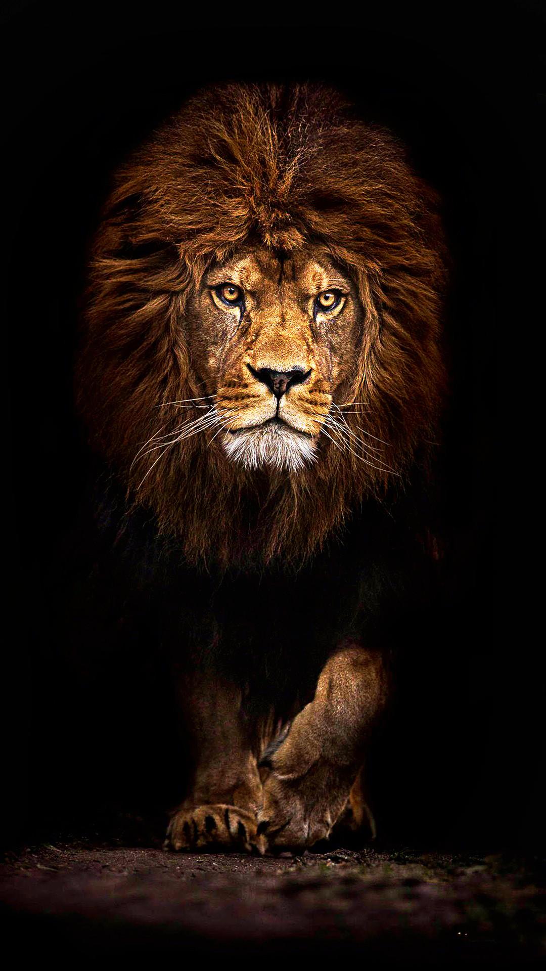 Lion Pictures Wallpaper 71 Images