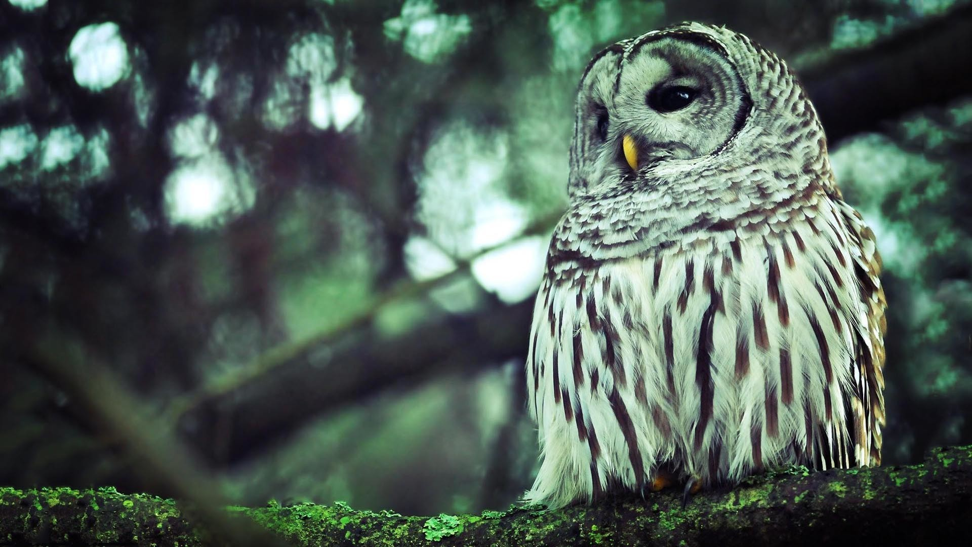 hd owl wallpaper (78+ images)