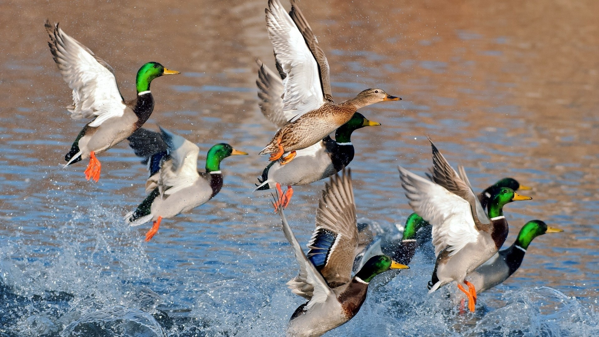 Drake waterfowl wallpaper 56 images 1920x1080 ducks flying over water 1920 x 1080 download close voltagebd Images