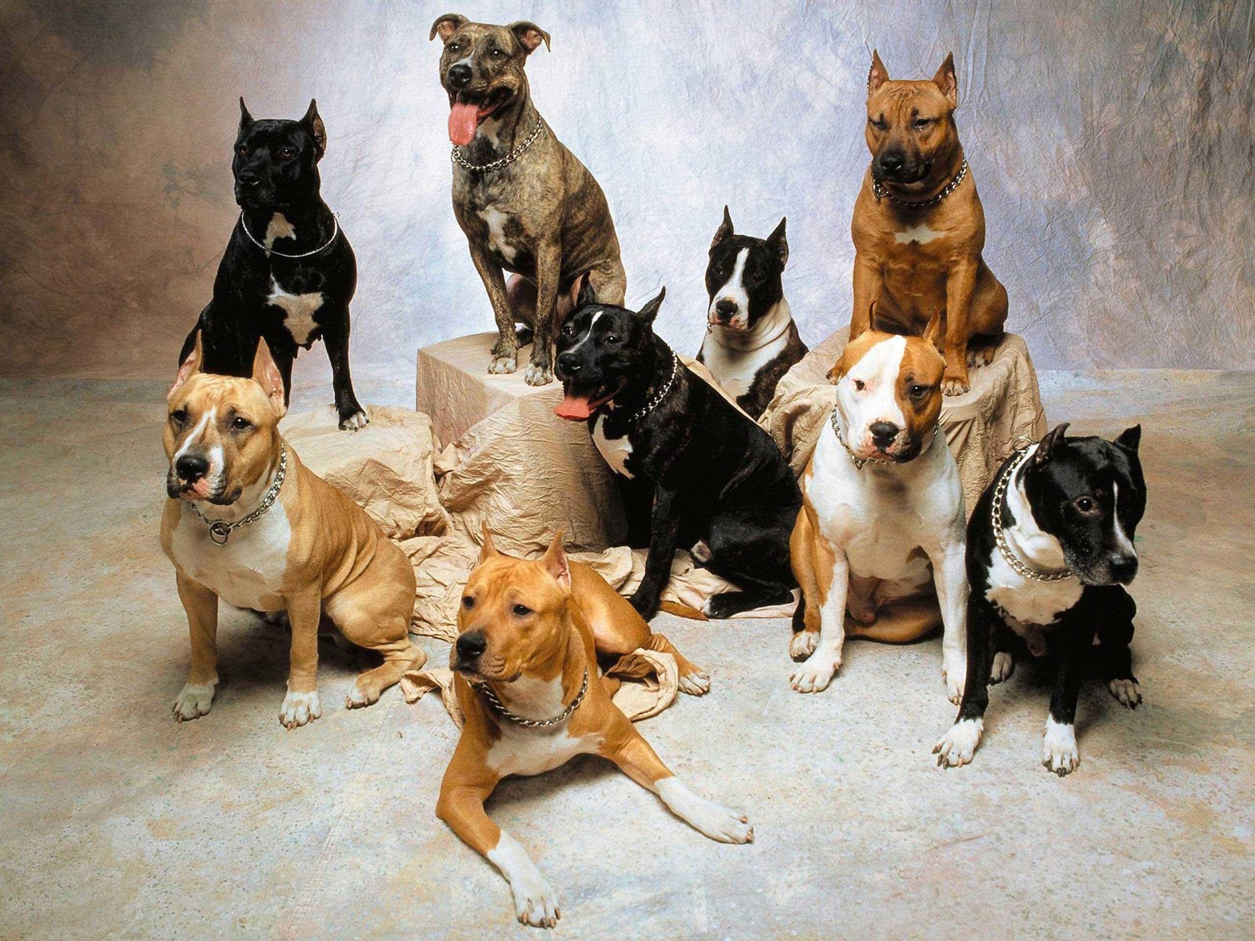 pitbull terrier wallpaper 43 images