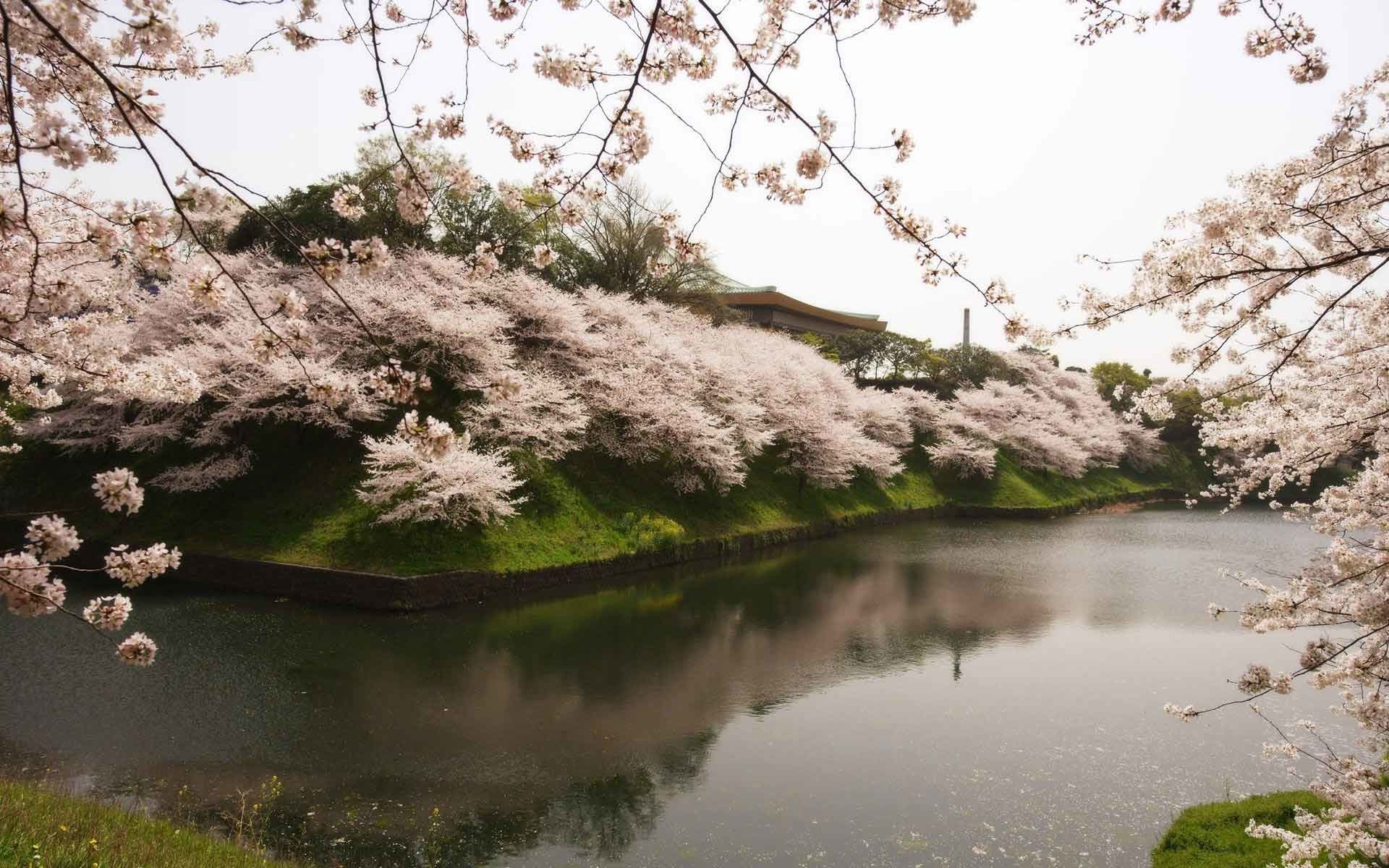 1920x1200 Landscapes Sakura River Garden Japan Beautiful Tree Water Download HD  Wallpaper Of Nature For Laptop