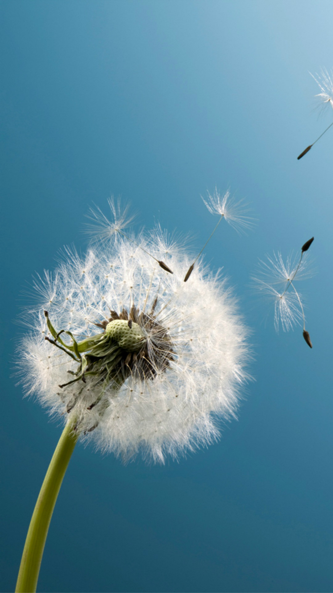 1080x1920 Pure Aesthetic Dandelion Blowing Blue Sky Macro #iPhone #6 #plus #wallpaper