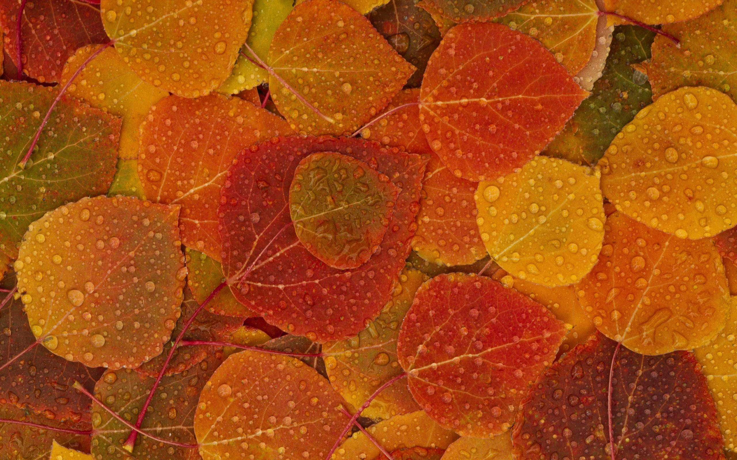 2560x1600 Aspen Leaves Wallpaper Autumn Nature Wallpapers in jpg format for