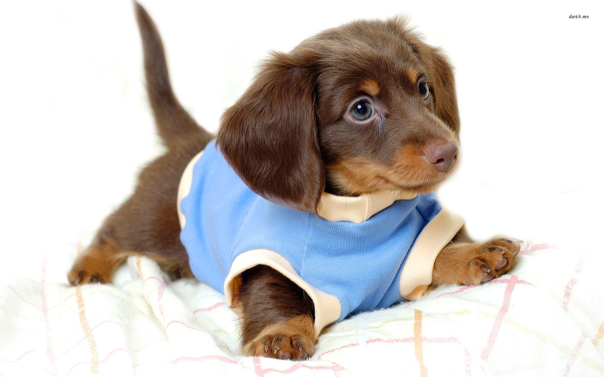 1920x1200 Dachshund puppy in a sweater Animal HD desktop wallpaper, Dog wallpaper,  Puppy wallpaper, Dachshund wallpaper - Animals no.