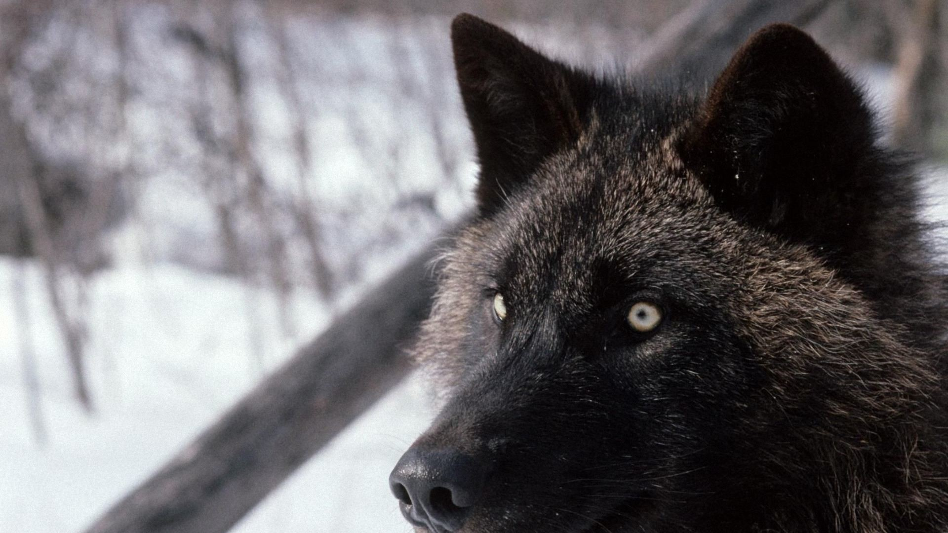 1920x1080 Black Wolf wallpapers
