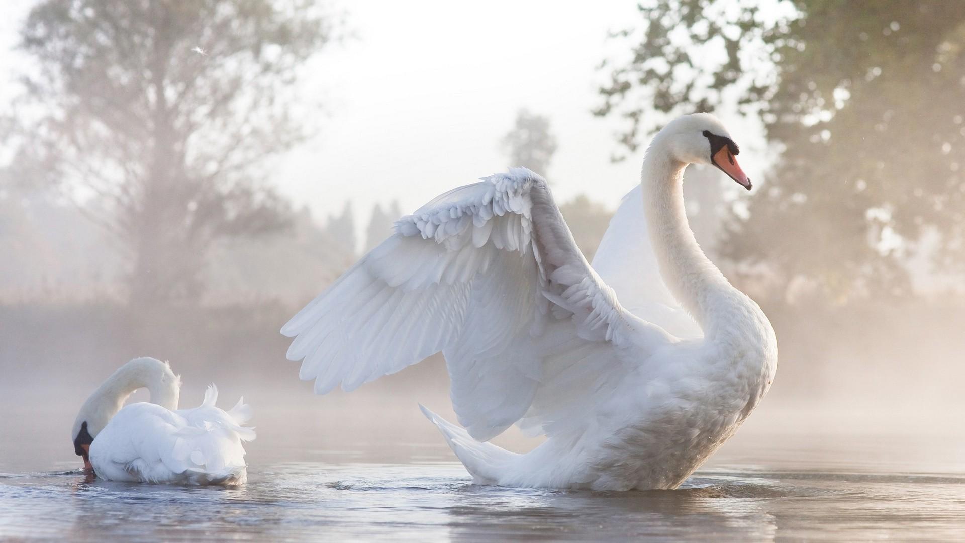 Swan Wallpaper 73 Images