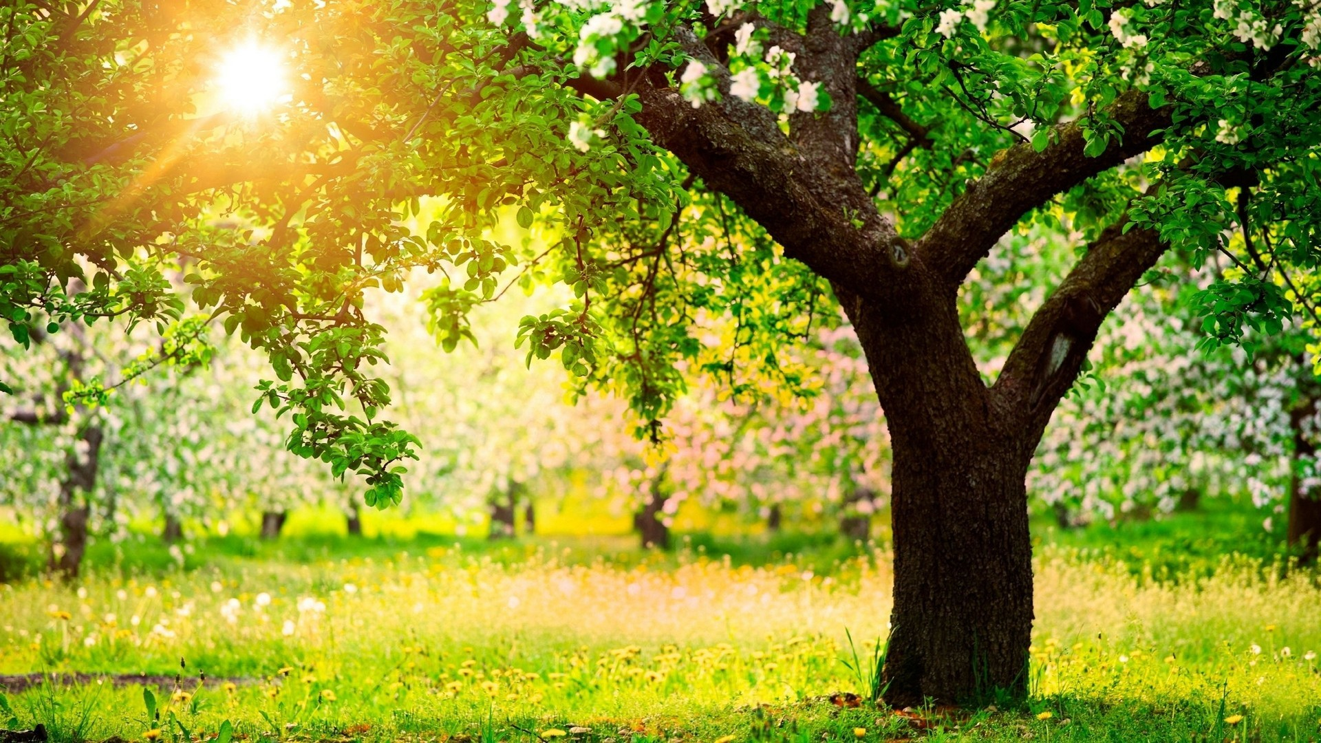 Apple Tree Wallpaper 53 Images