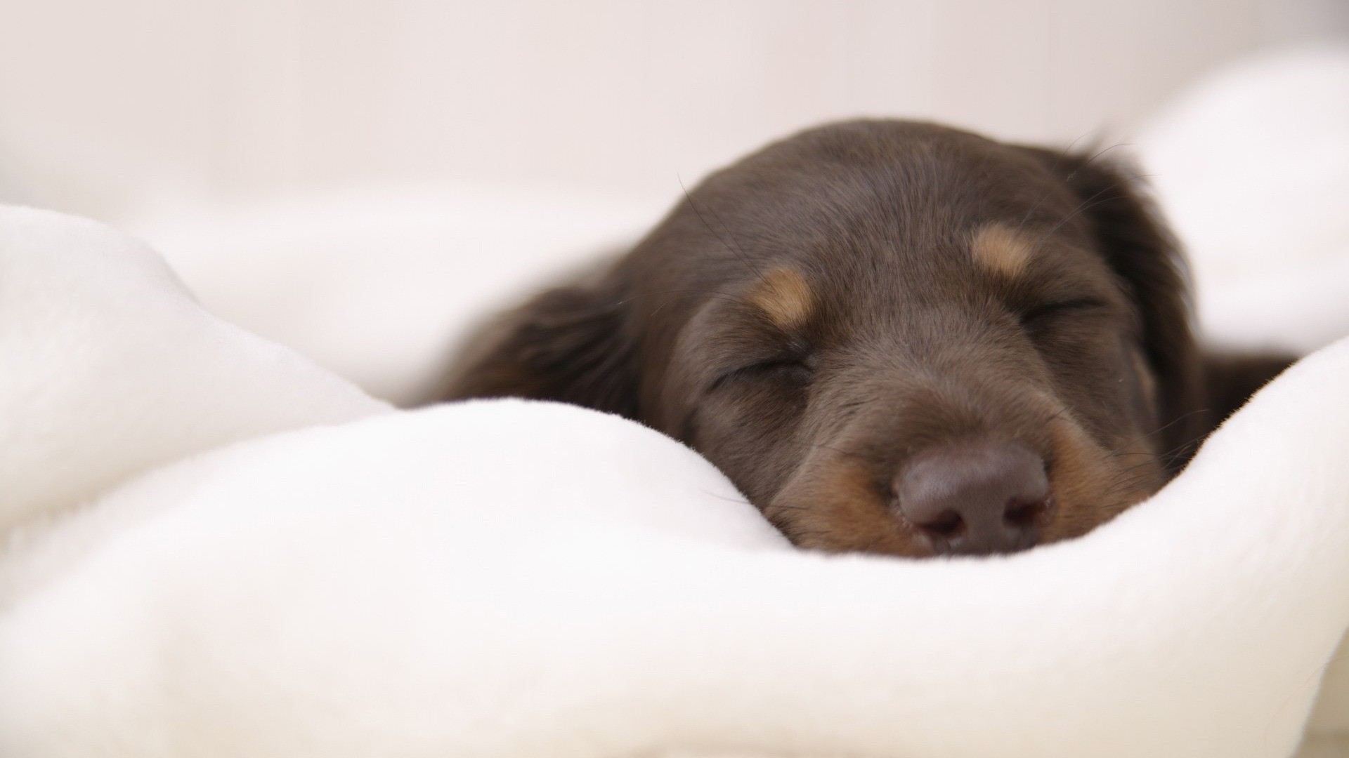 Dachshund Wallpaper 79 Images