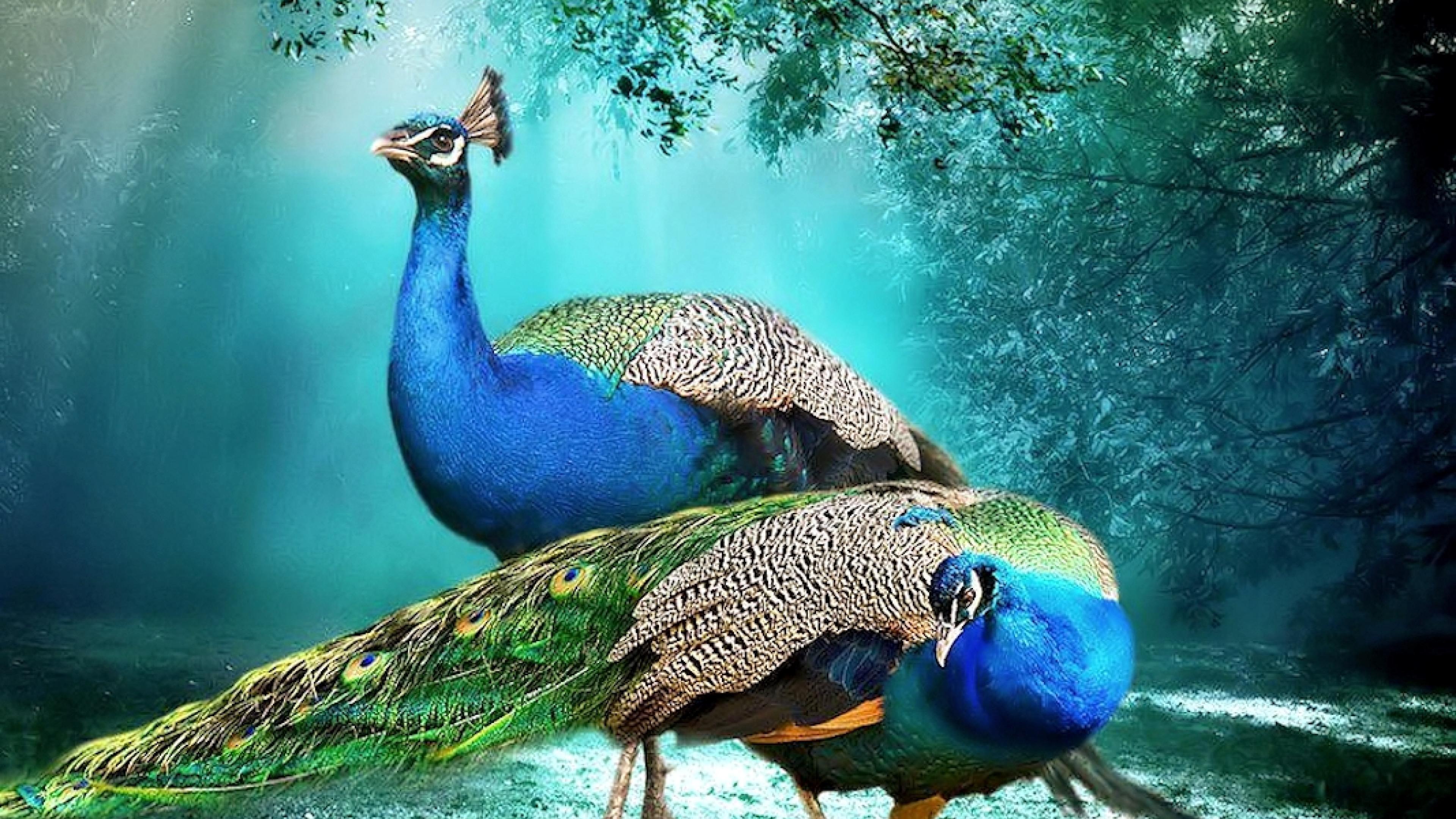 Wallpaper Peacock (63+ Images
