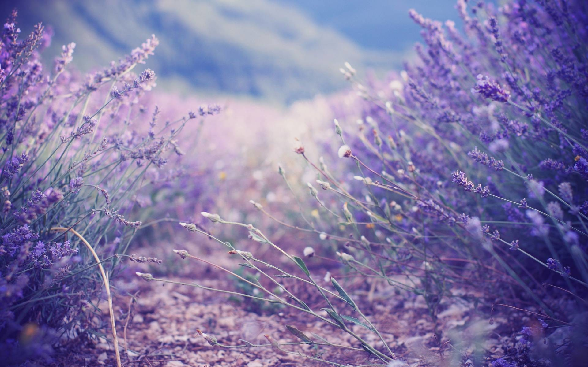 1920x1200 Lavender Wallpapers - Full HD wallpaper search - page 4