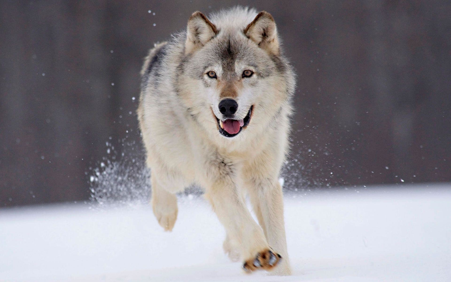 1920x1200 Gray Wolf Wallpaper | Gray Wolf Images Free | Cool Wallpapers
