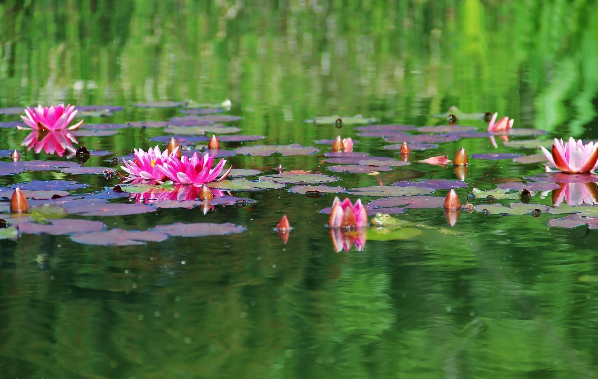 2048x1300  Wallpaper water lilies, water, herbs, leaves, surface, pond
