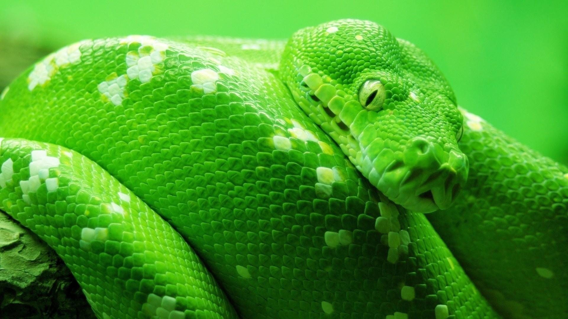 King Cobra Snake Hood Indian King Cobr...
