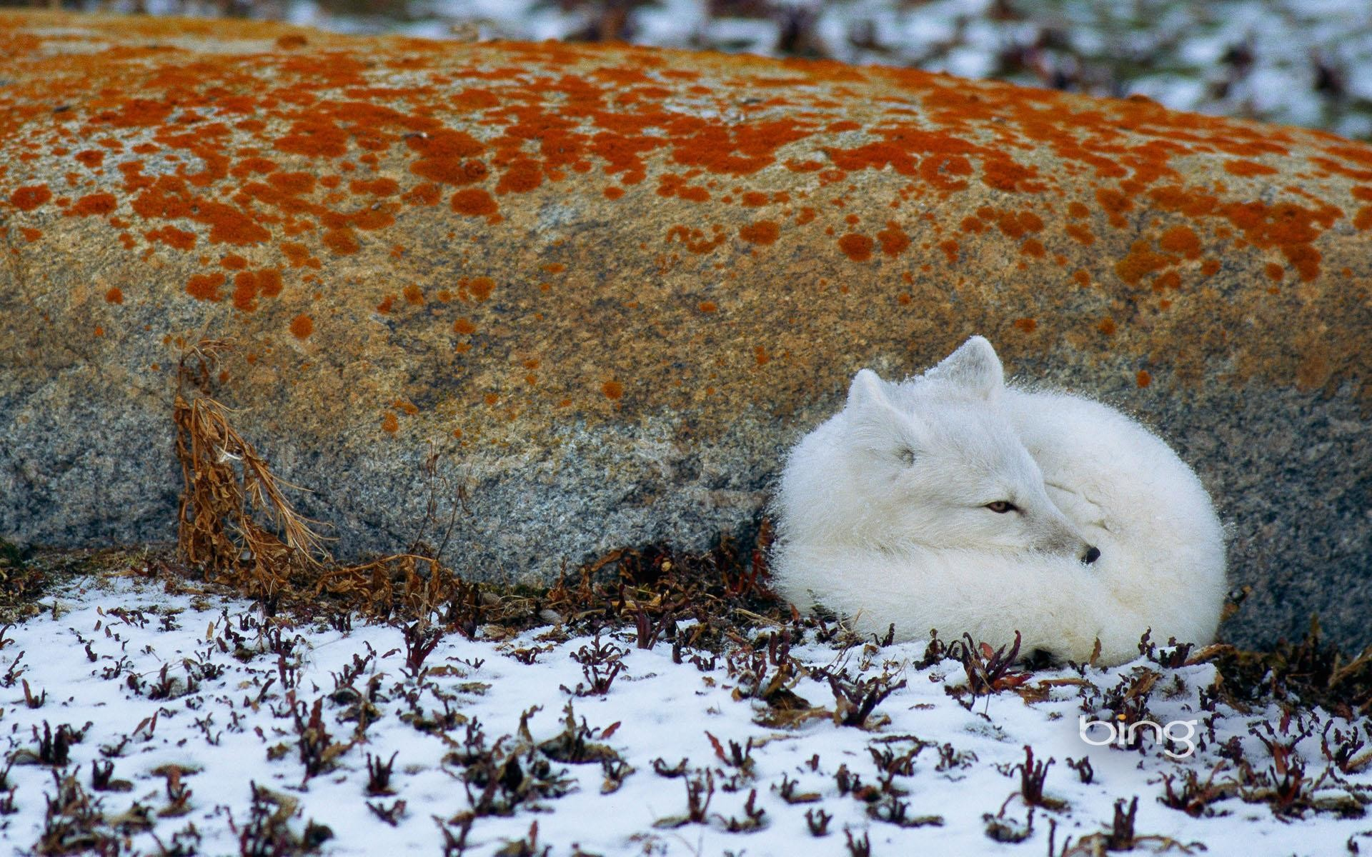 Arctic Fox Wallpaper 73 Images