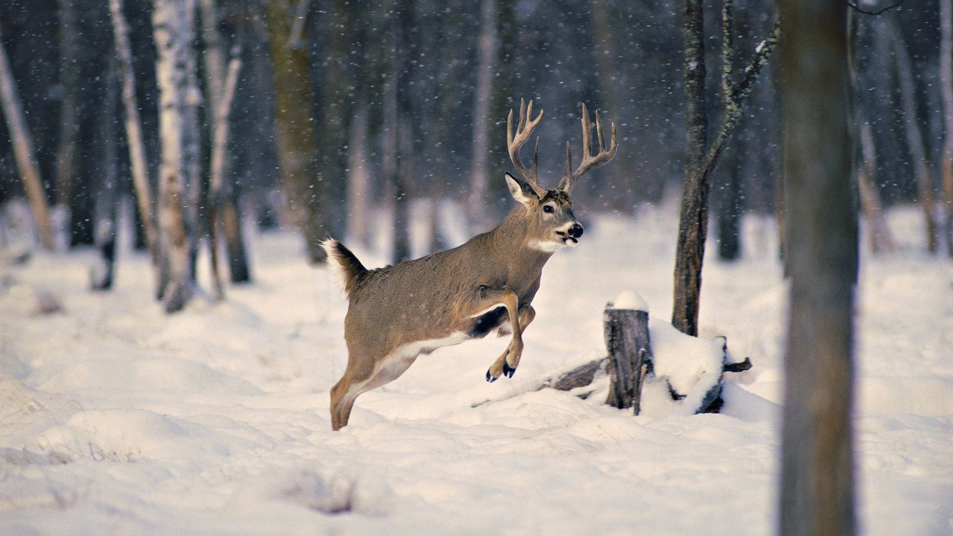 Monster bucks wallpaper 46 images 1920x1080 white tailed deer fighting viewing gallery voltagebd Image collections