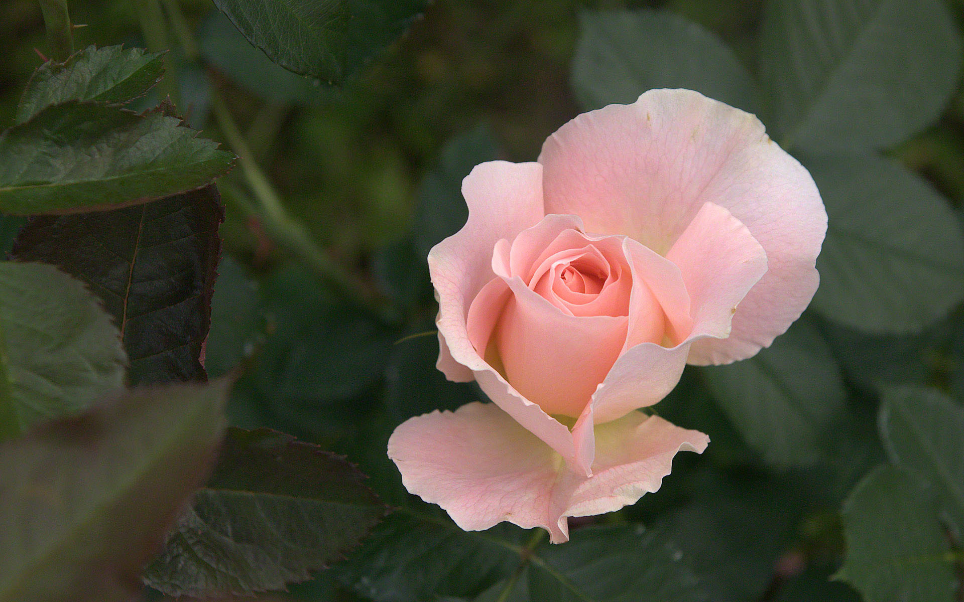 Pink Rose Wallpapers (62+ Images