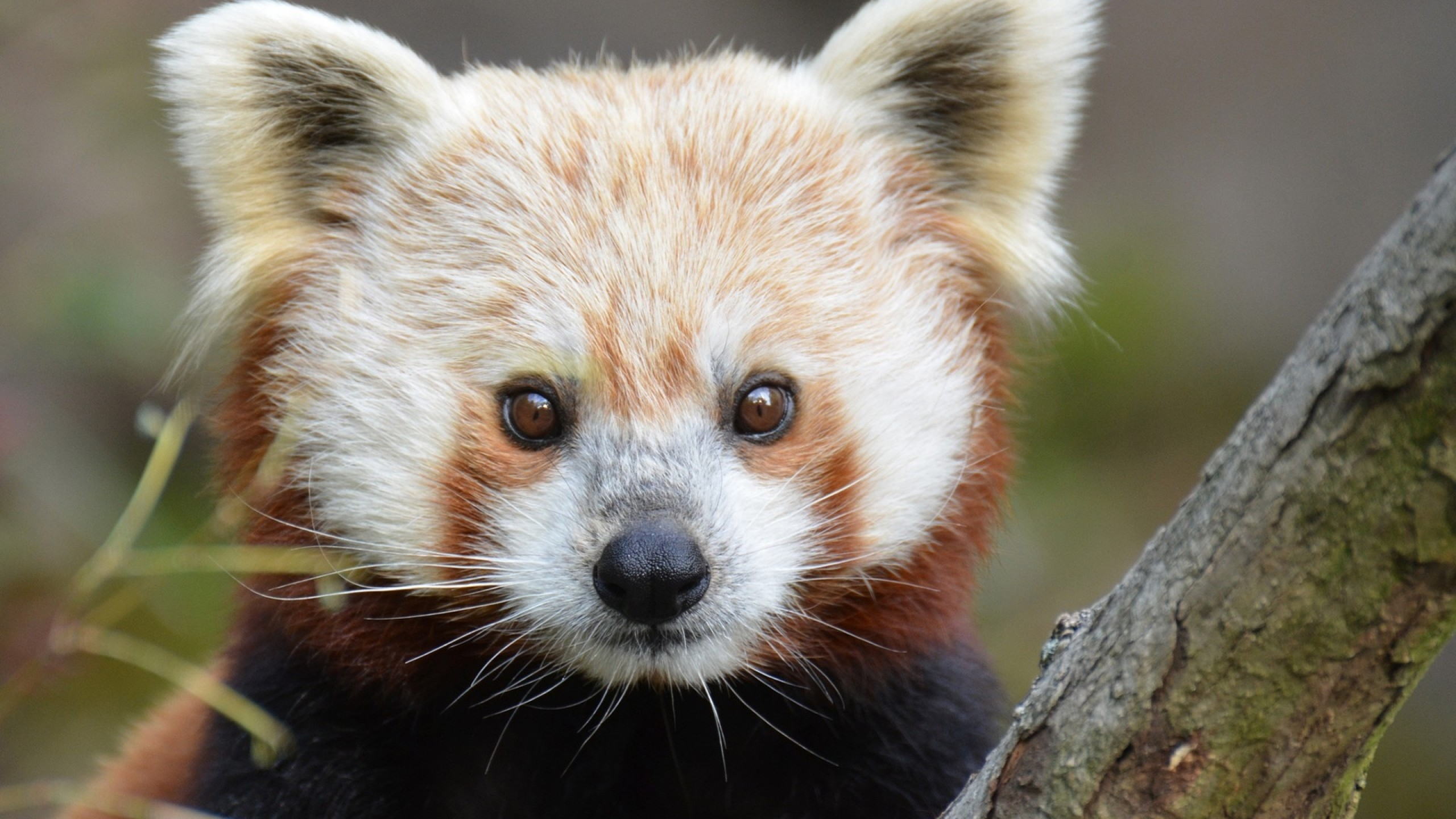 2560x1440 Red Panda Wallpapers Hq