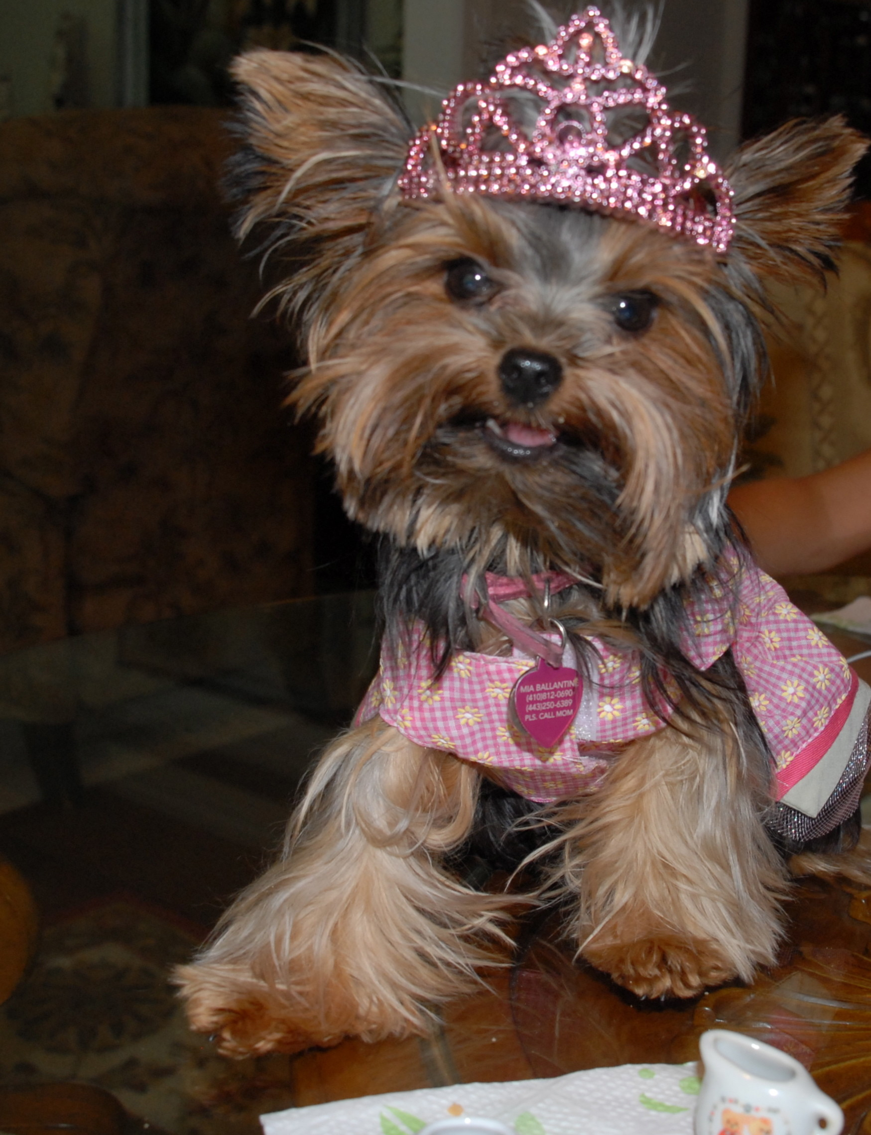 1749x2280 Cute Yorkshire Terrier Picture Gallery