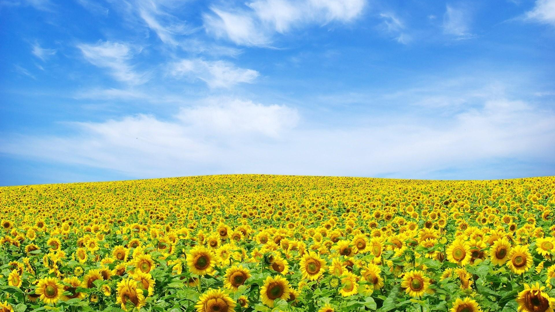 1920x1080 ... Background Full HD 1080p.  Wallpaper sunflowers, field, sky,  summer, clouds, nature