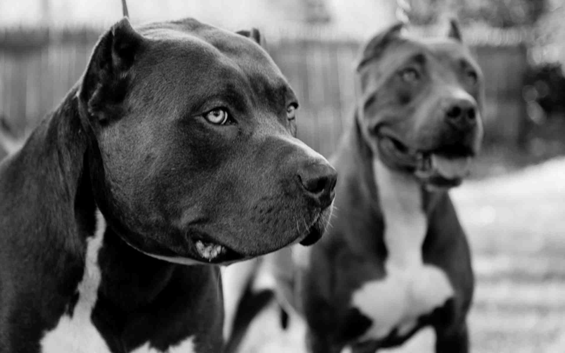 1920x1200 Pitbull Wallpapers Two Pitbulls in Black and White