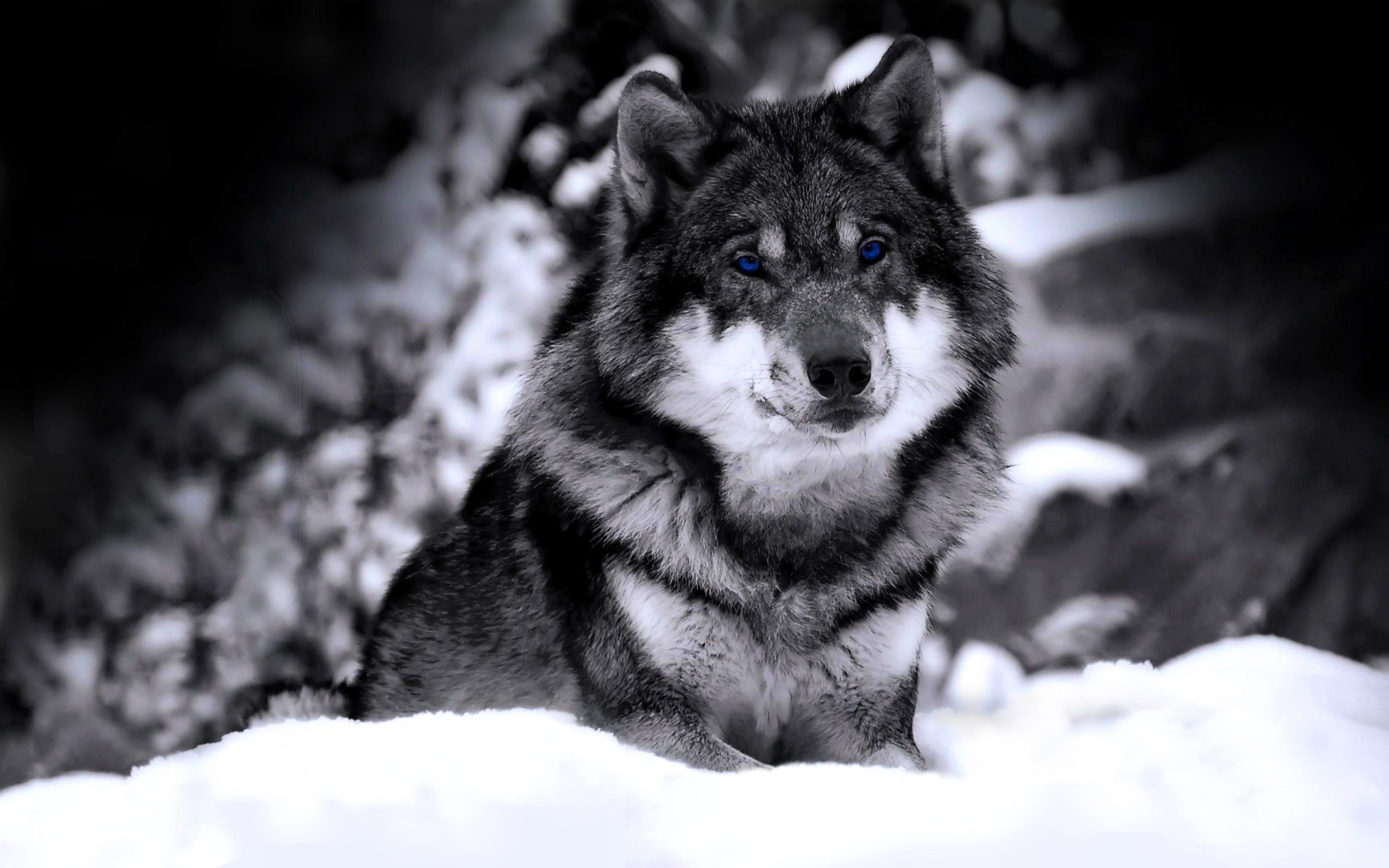 Black And White Wolf Wallpaper 73 Images