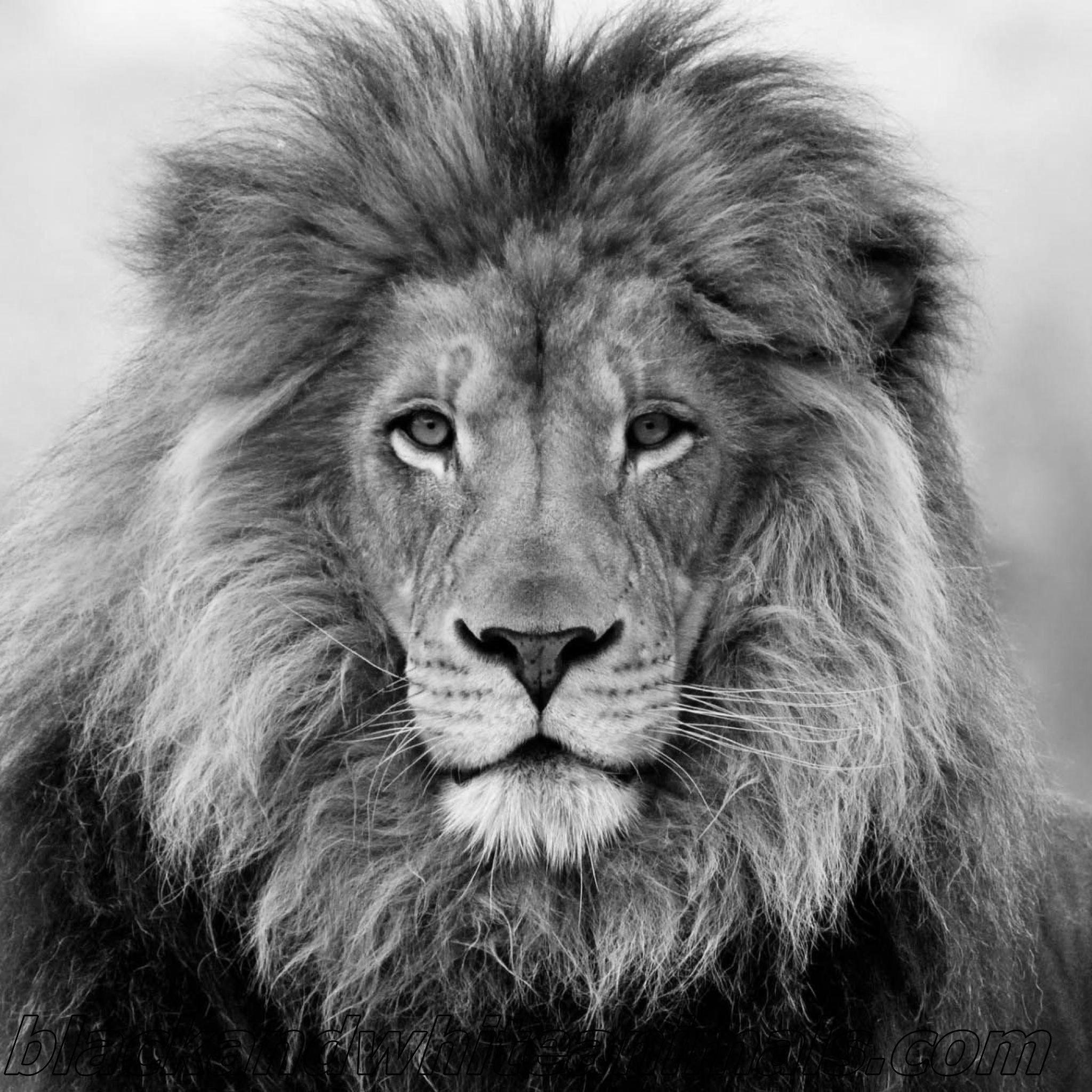 lion wallpaper black and white (50+ images)