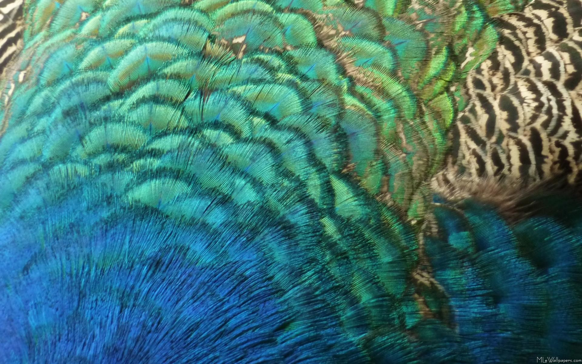 1920x1200 Peacock Feathers I