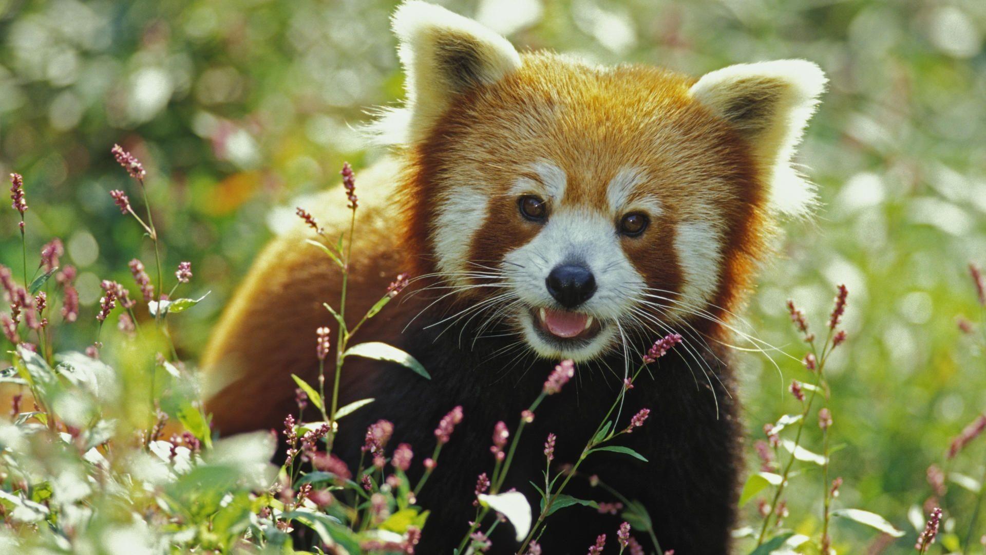 Cute Baby Panda Wallpaper (65+ images) | 1920 x 1080 jpeg 344kB
