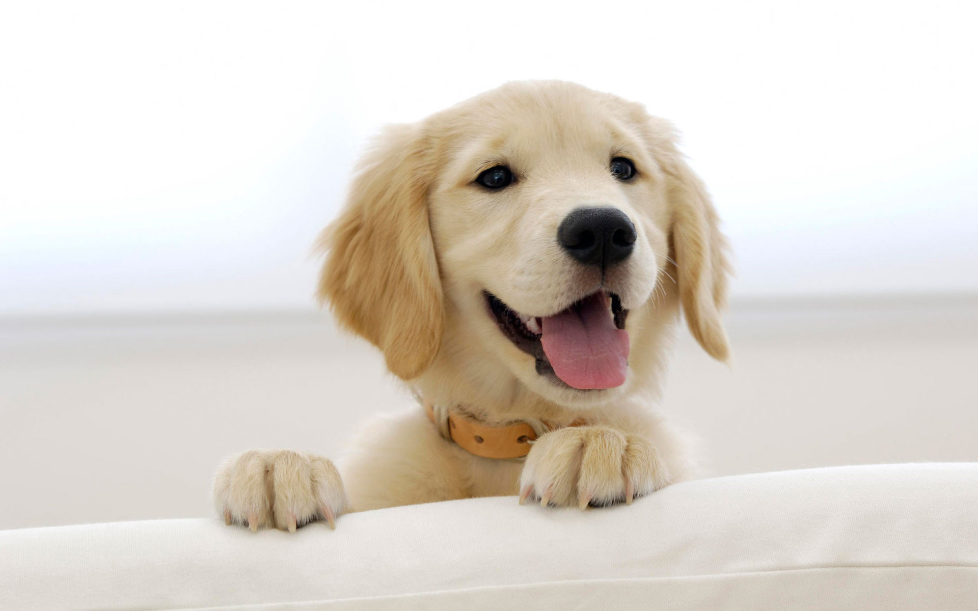 1920x1200 ... Stunning Golden Retriever Puppy Wallpapers | Hd Wallpapers as Winsome  Puppy Golden Retriever Wallpaper ...