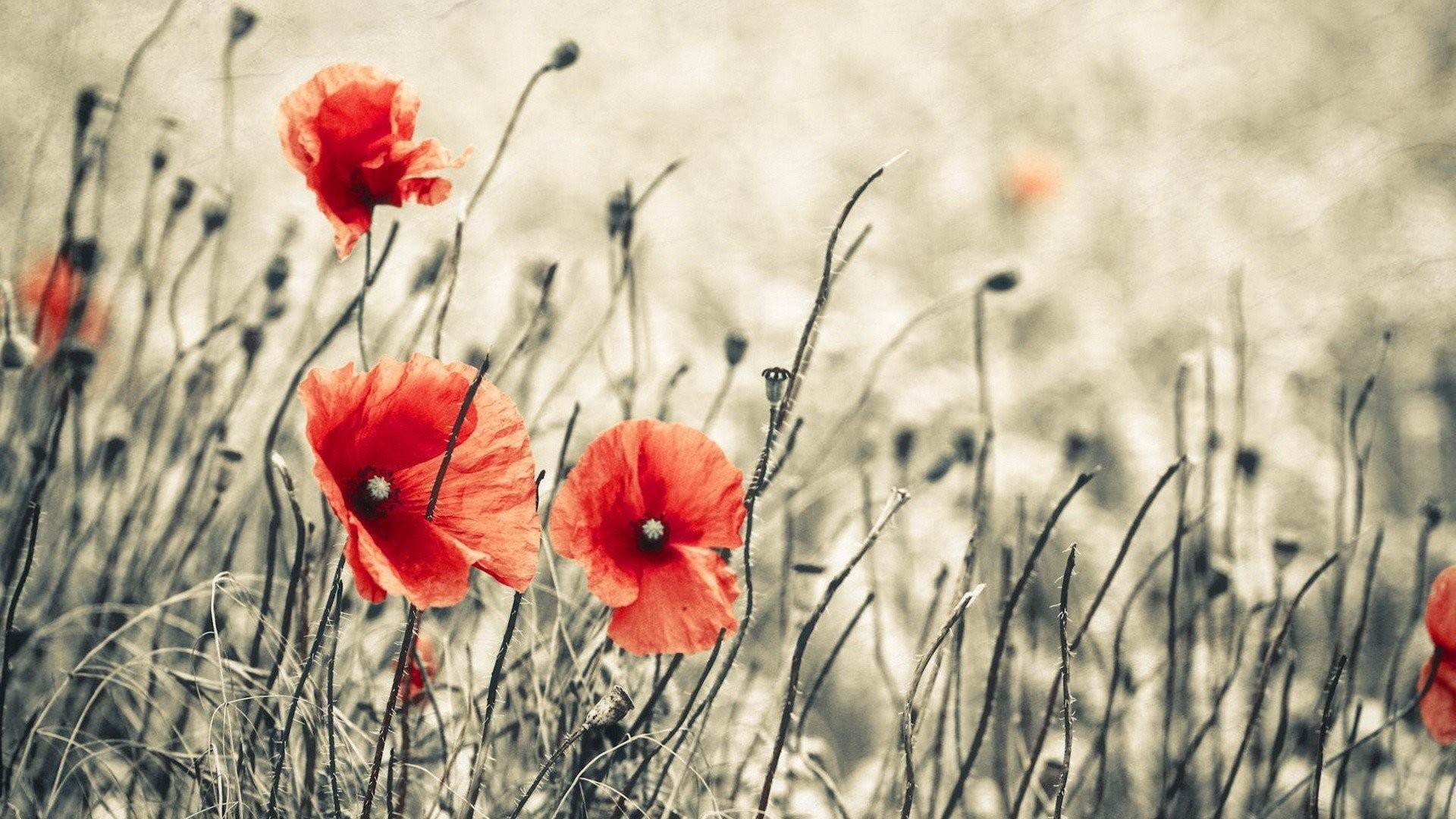 1920x1080 Background Poppy Free Download. Backgrounds Poppy HD.