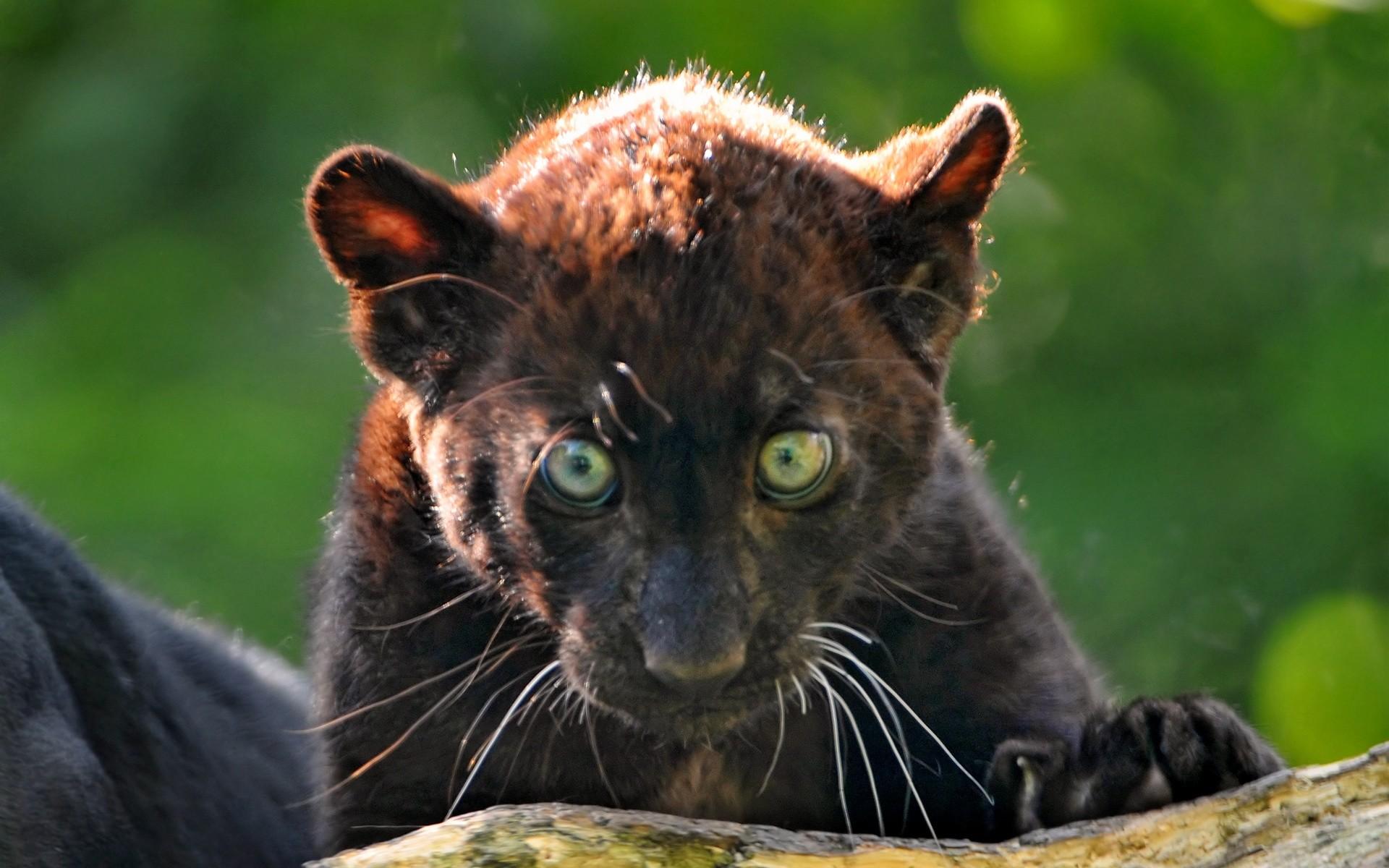 Black Panther Blue Eyes Wallpaper (60+ images) - photo#30