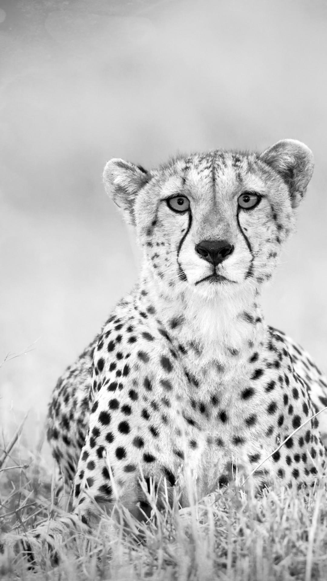 black cheetah wallpaper 69 images