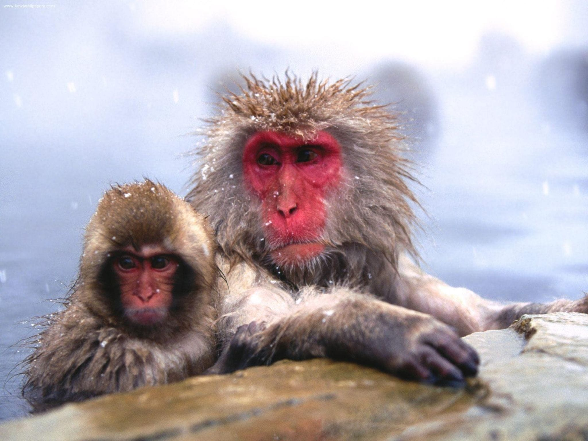 2048x1536 Baboon widescreen
