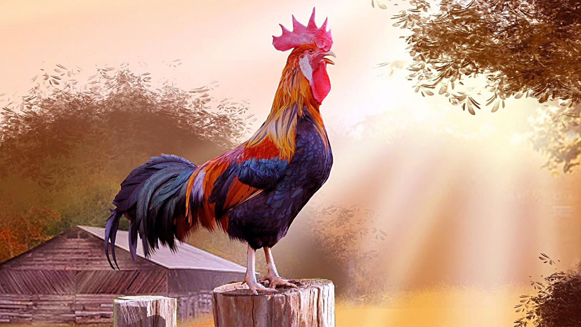 Chicken Wallpapers 64 Images