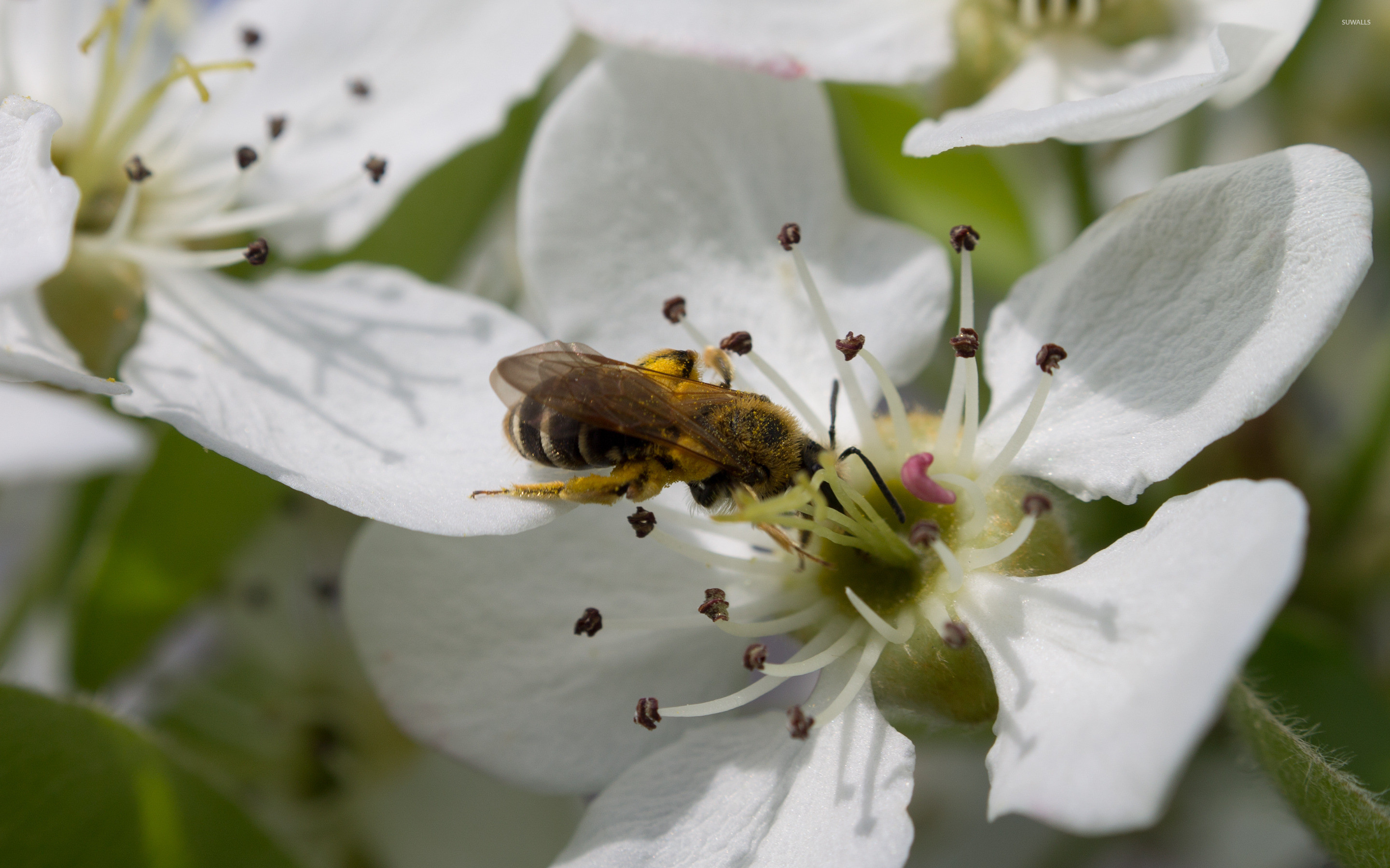 2880x1800 Bee on a pear blossom wallpaper