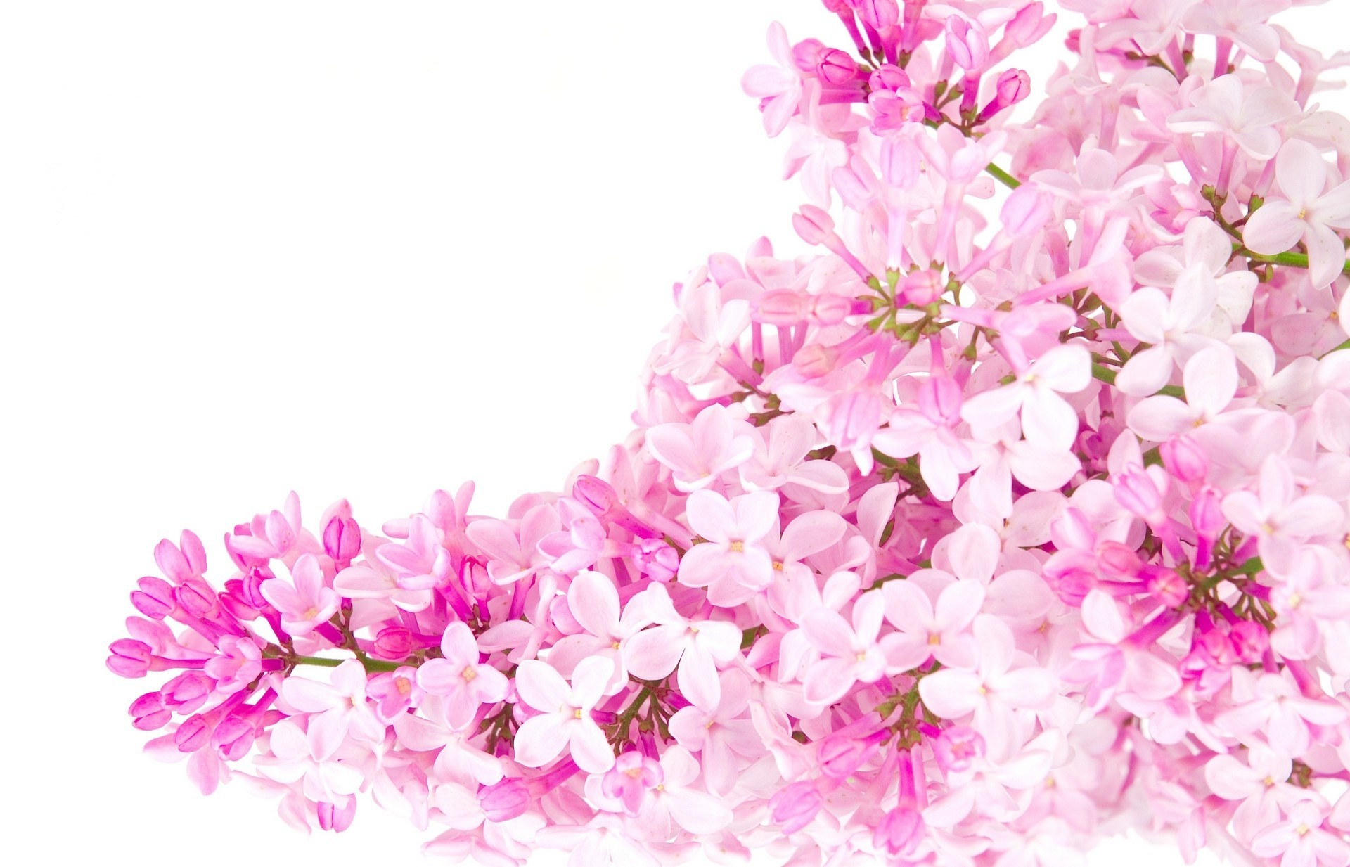 Res: 1920x1233, Pink Flower White Background 39 Pictures