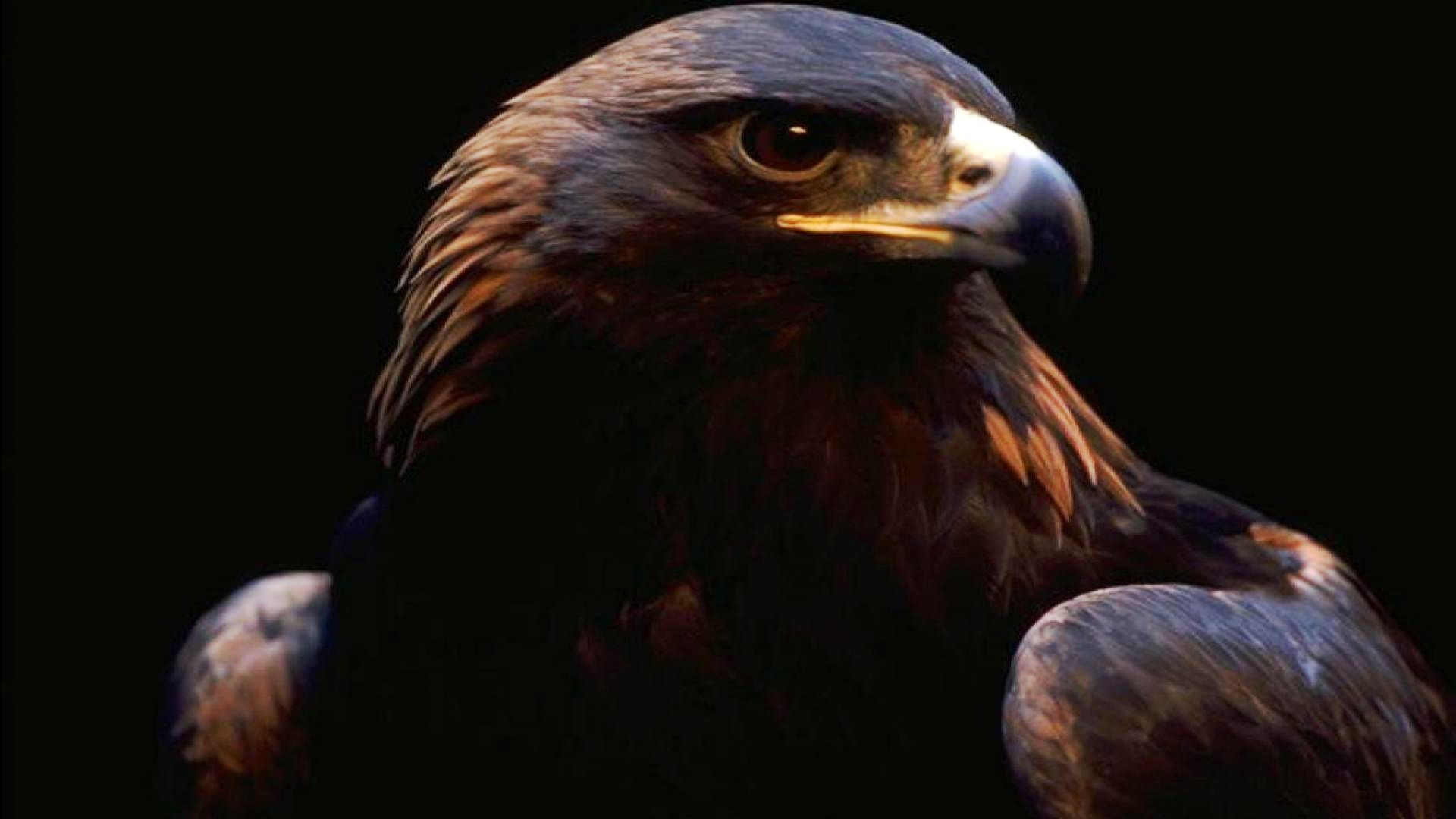 Golden eagle wallpaper 61 images - Harpy eagle hd wallpaper ...